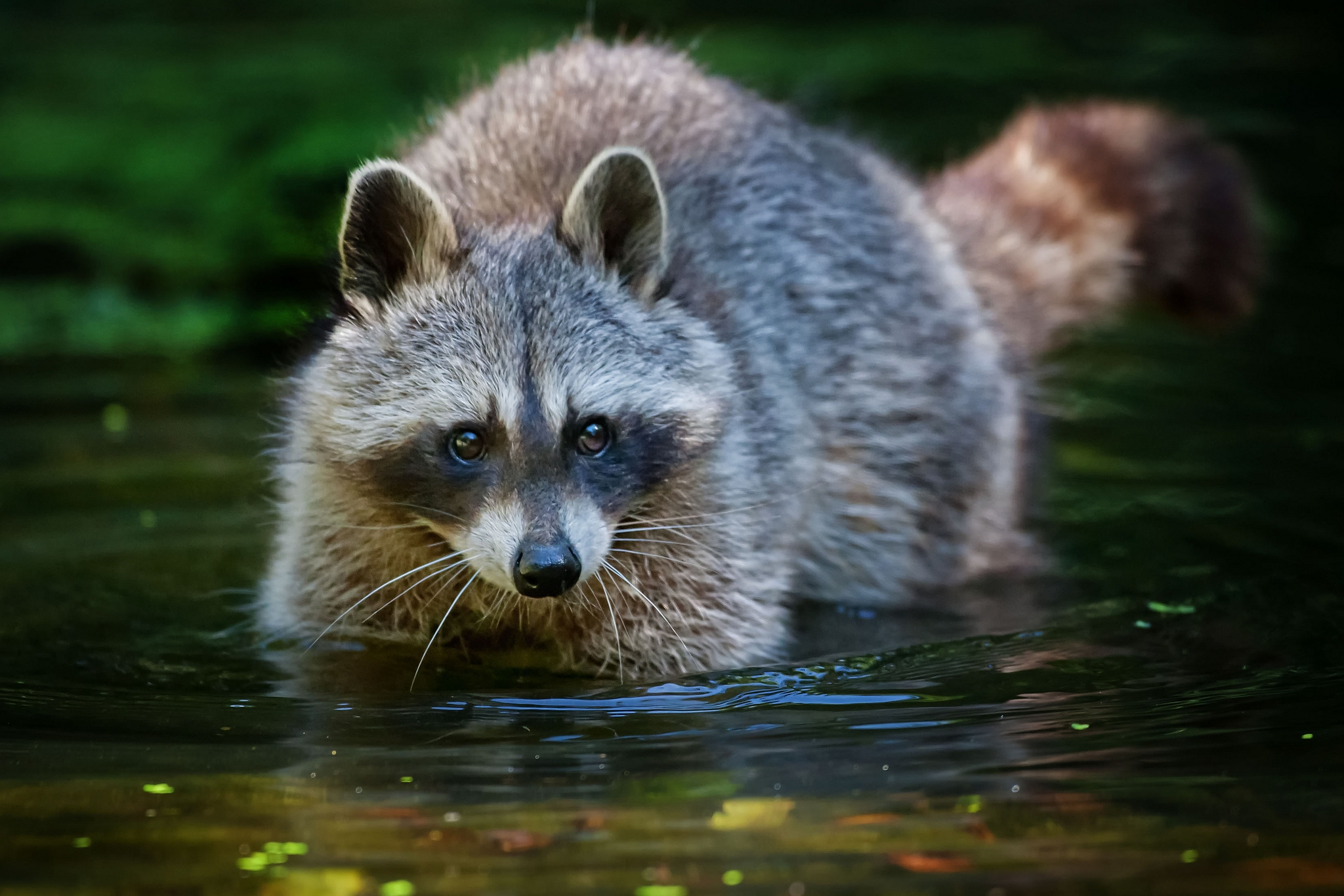 116186 Screensavers and Wallpapers Raccoon for phone. Download Animals, Water, Stroll, Animal, Raccoon pictures for free