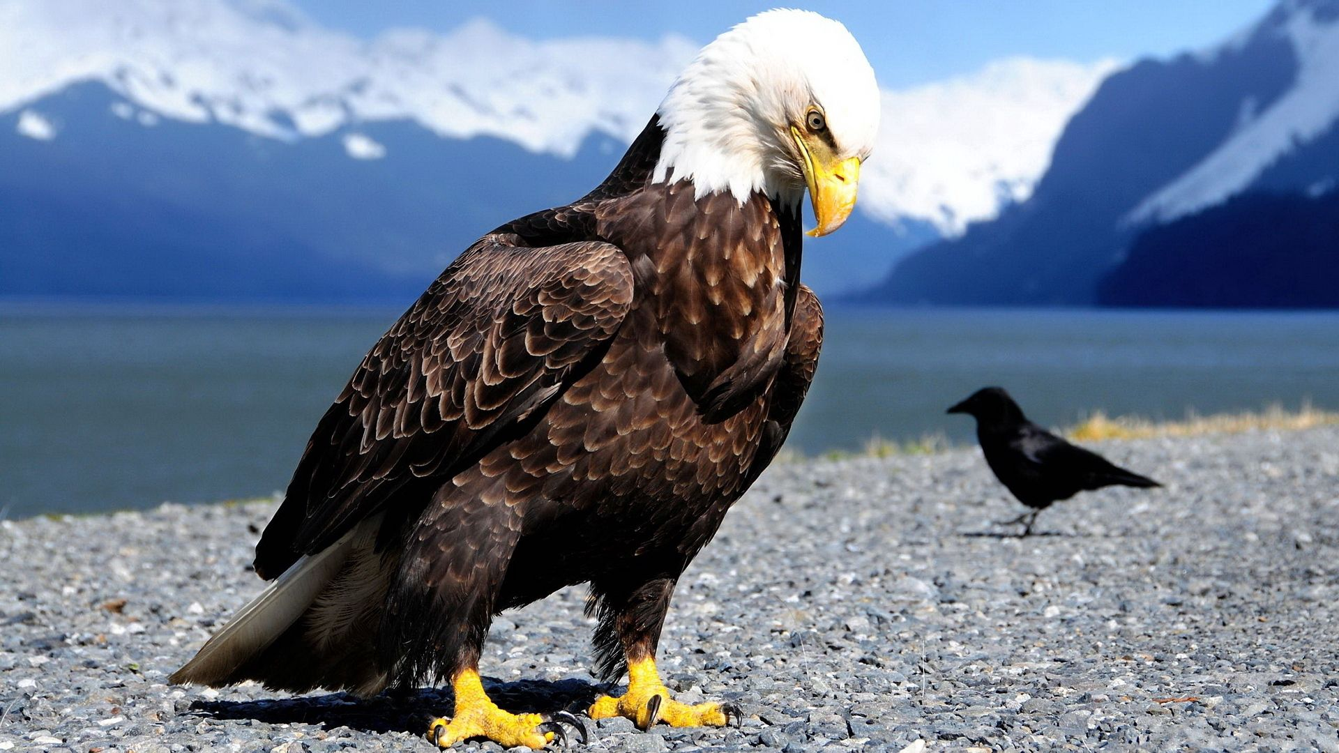 53114 download wallpaper Animals, Eagle, Crow, Shore, Bank, Predator, Mountains, Birds screensavers and pictures for free