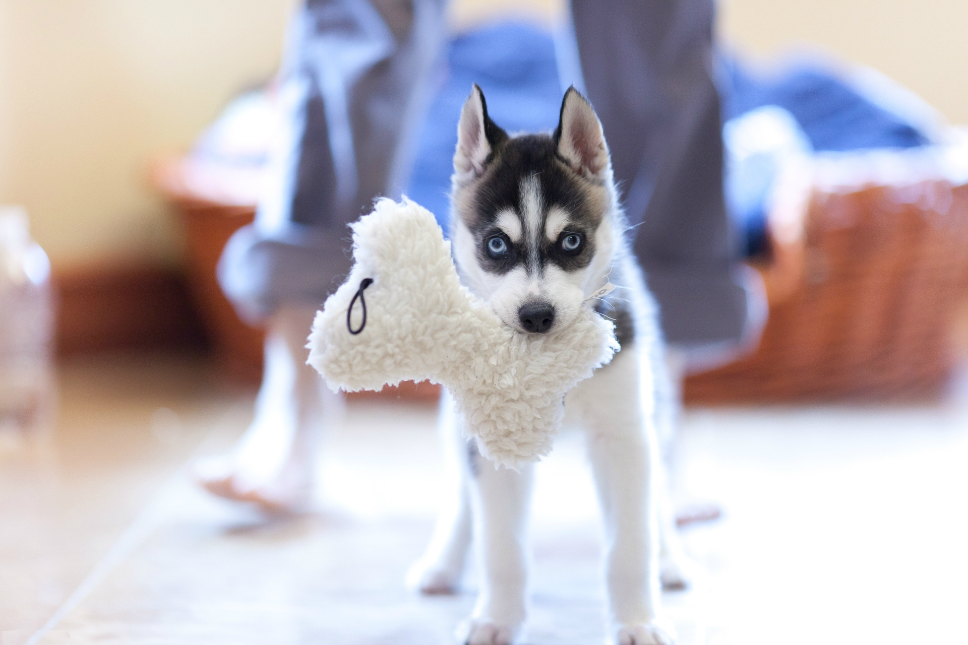 122257 Screensavers and Wallpapers Husky for phone. Download Animals, Dog, Muzzle, Puppy, Husky pictures for free