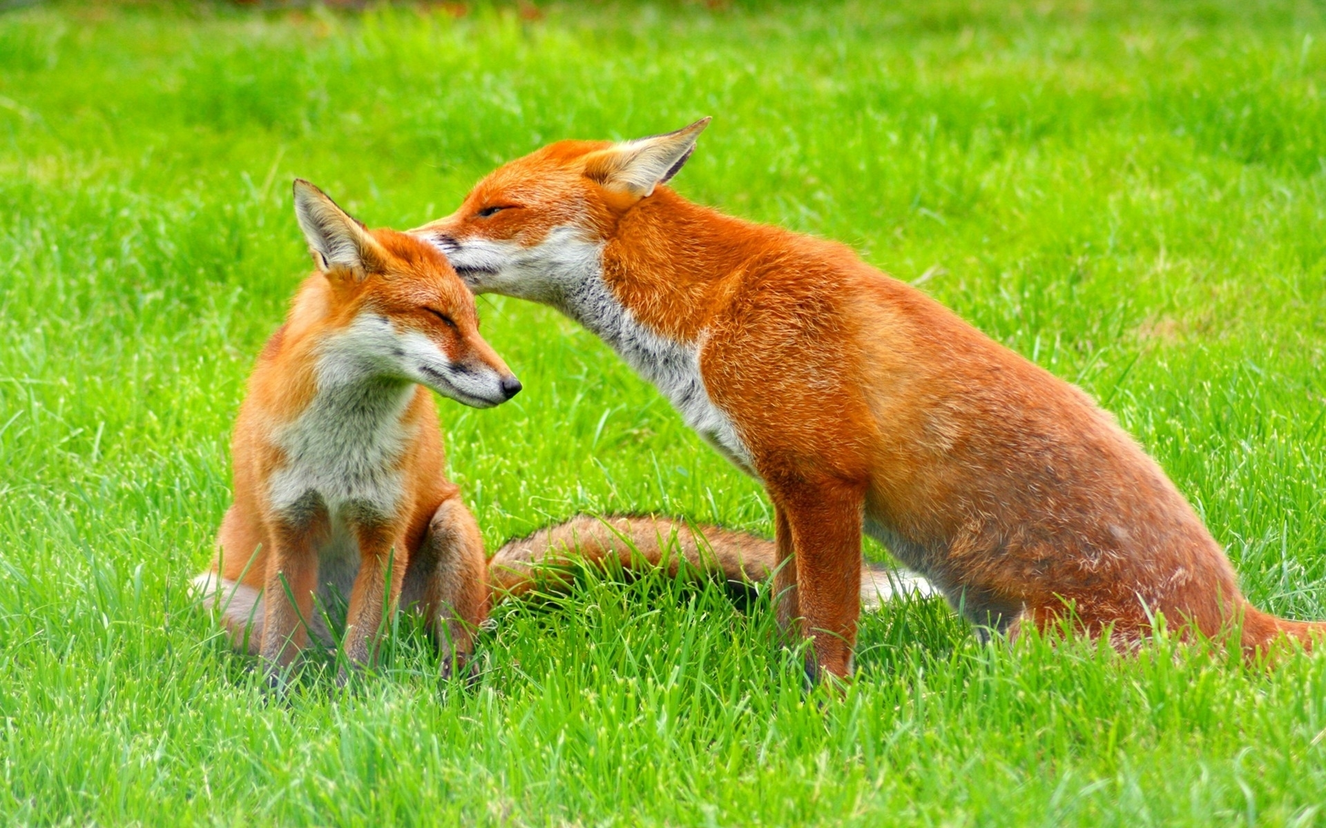 41681 download wallpaper Animals, Fox screensavers and pictures for free