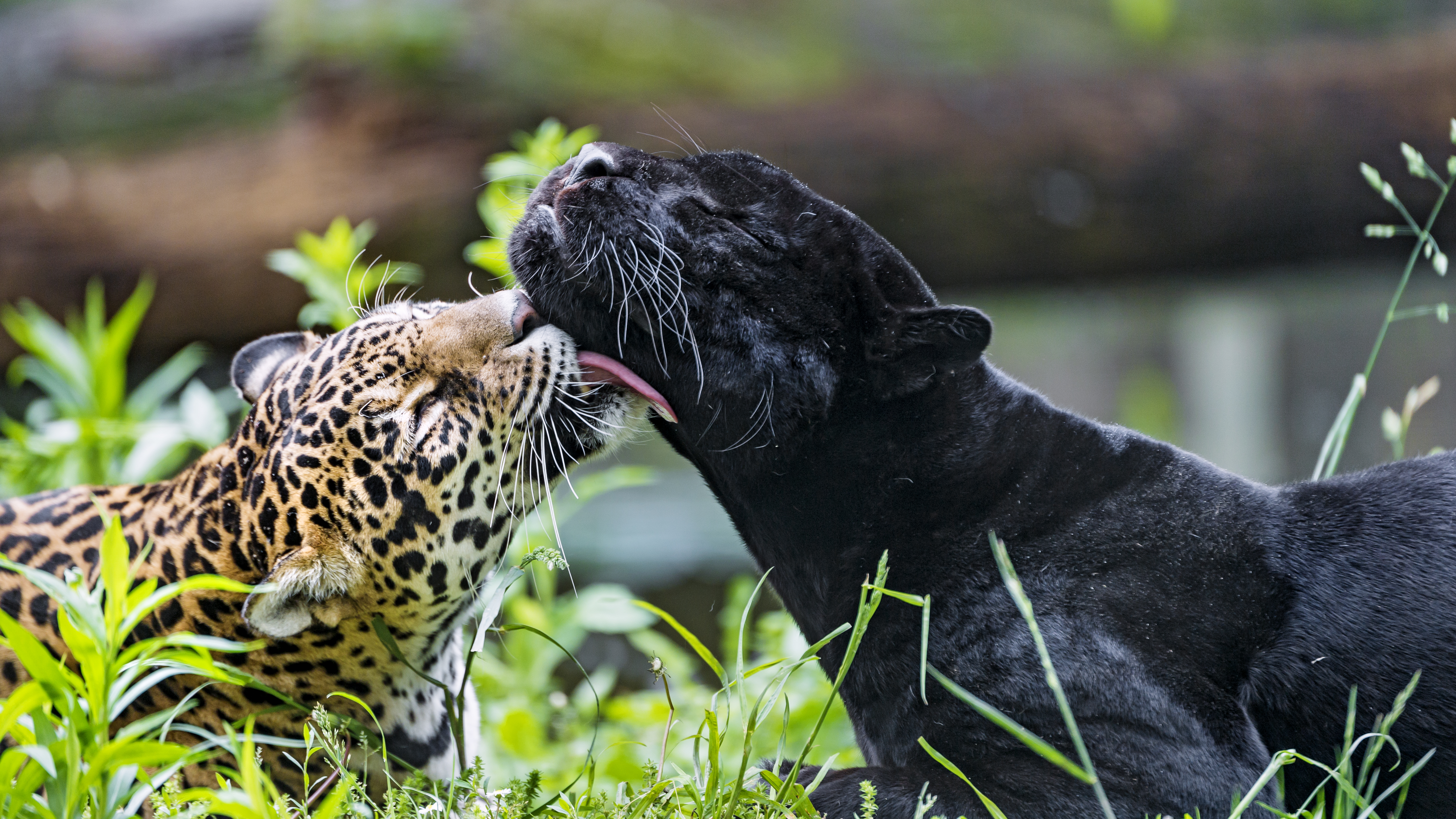 95499 download wallpaper Animals, Leopard, Wildlife, Lick, Panther screensavers and pictures for free