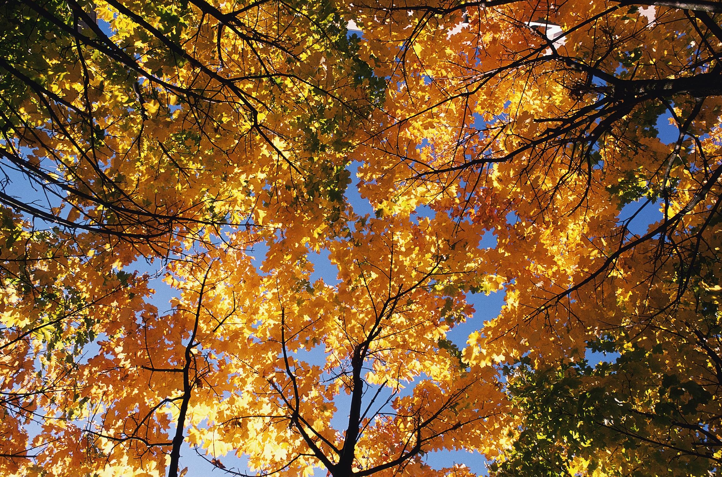 98768 скачать Желтые обои на телефон бесплатно, Природа, Деревья, Осень, Листья, Верхушки, Ветви, Кроны Желтые картинки и заставки на мобильный