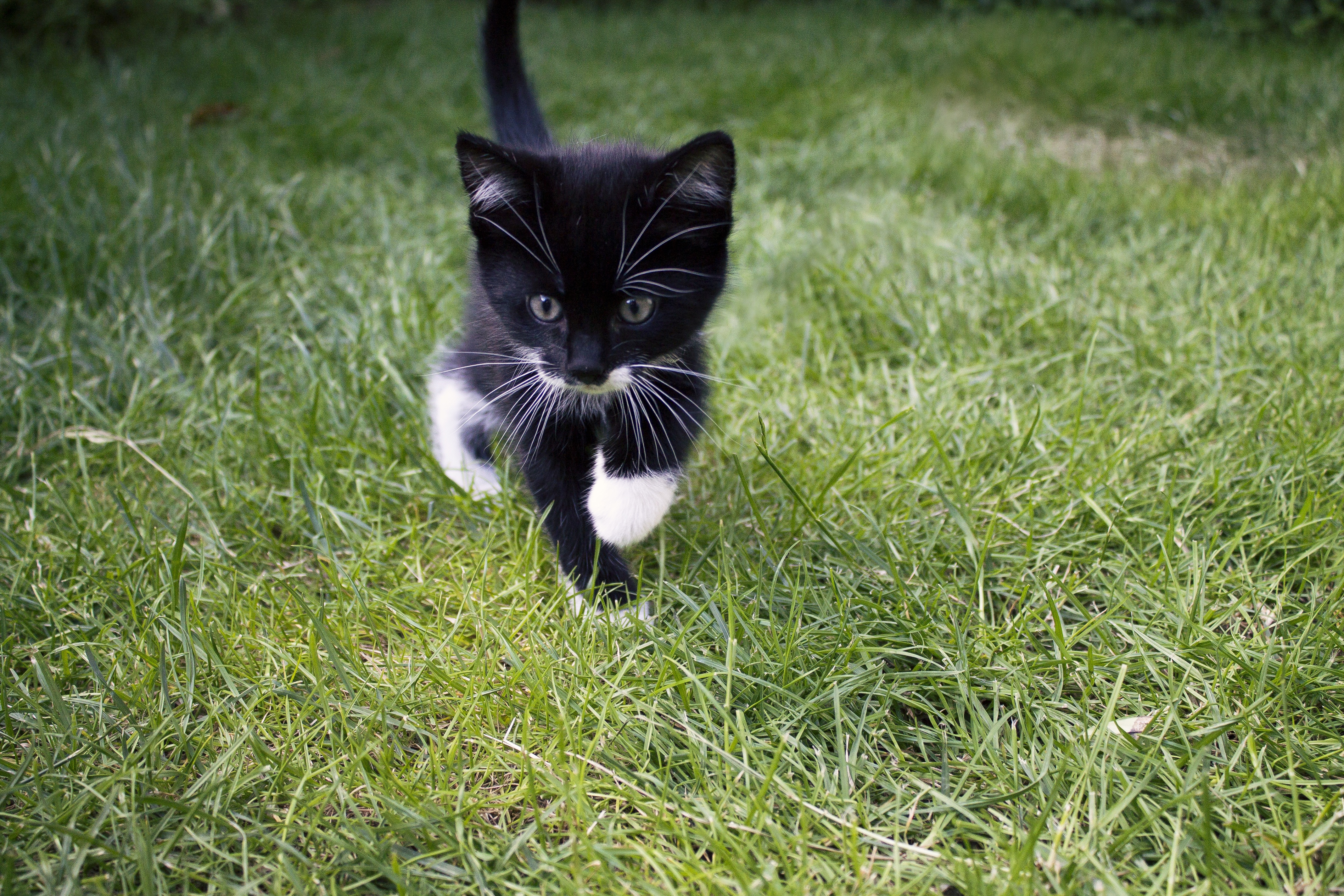 126184 Screensavers and Wallpapers Kitten for phone. Download Animals, Grass, Cat, Kitty, Kitten, Stroll, Nice, Sweetheart pictures for free