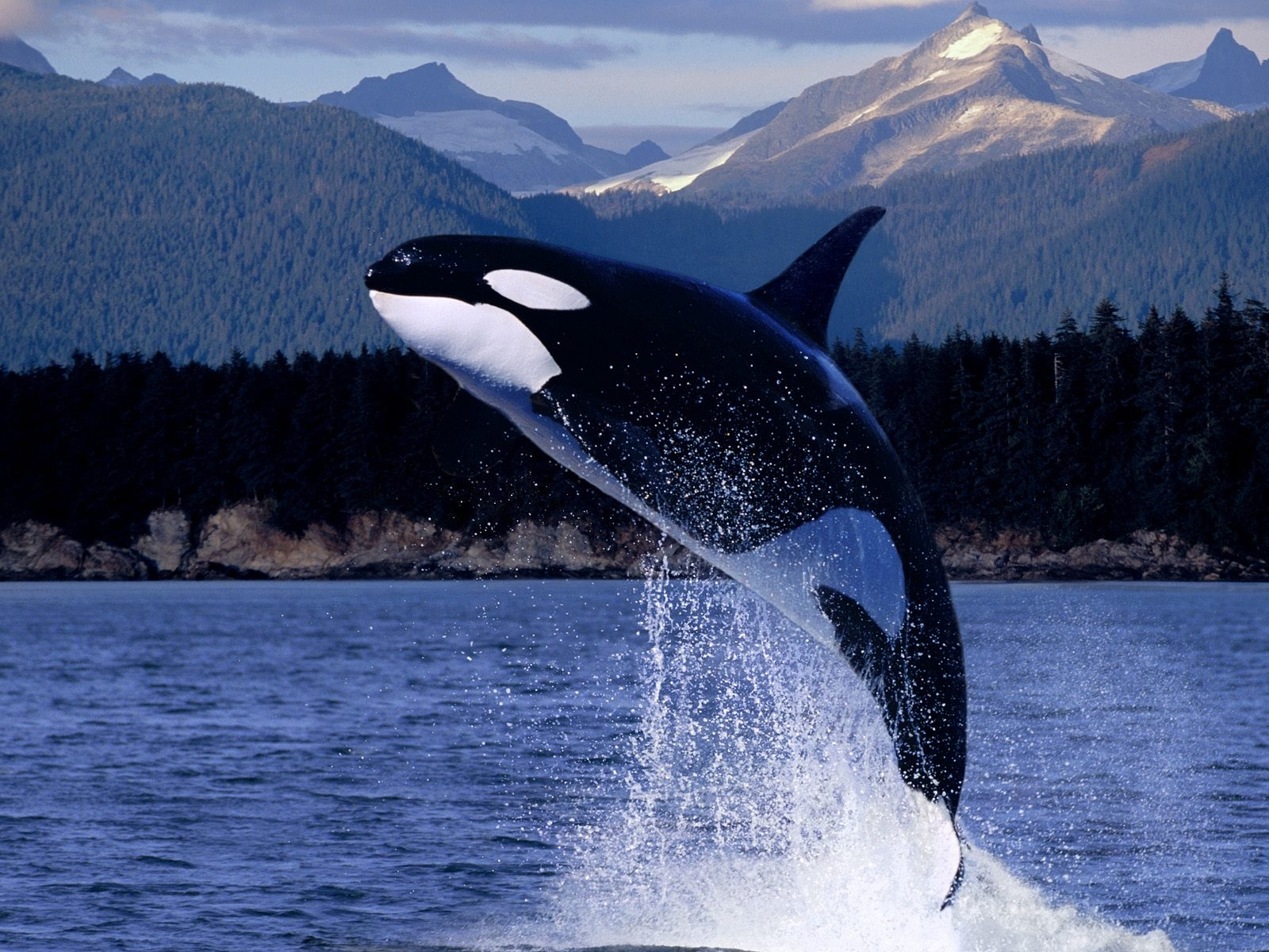 9158 download wallpaper Animals, Water, Fishes, Whales, Killer Whales screensavers and pictures for free