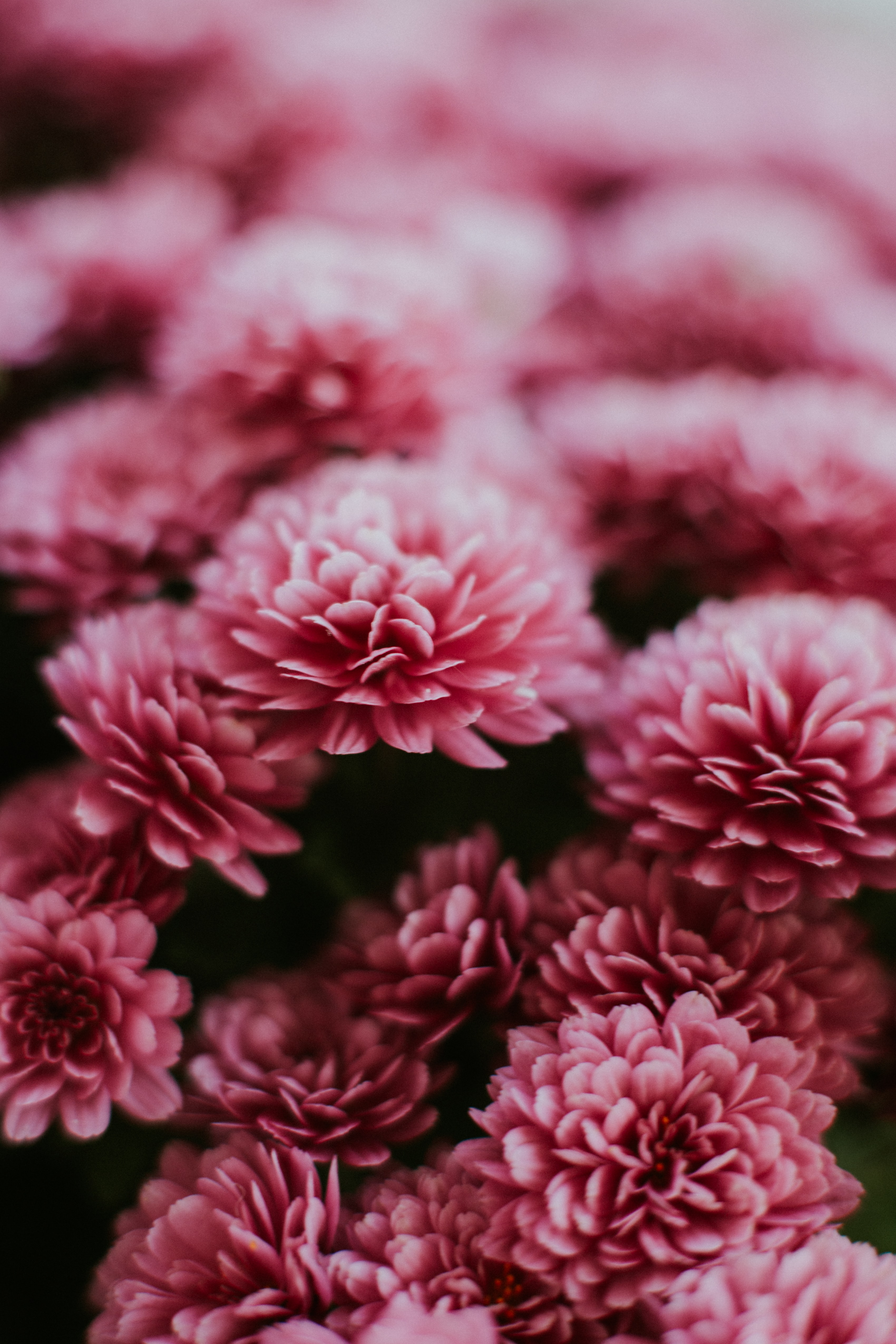 70123 download wallpaper Macro, Chrysanthemum, Pink, Flowers screensavers and pictures for free
