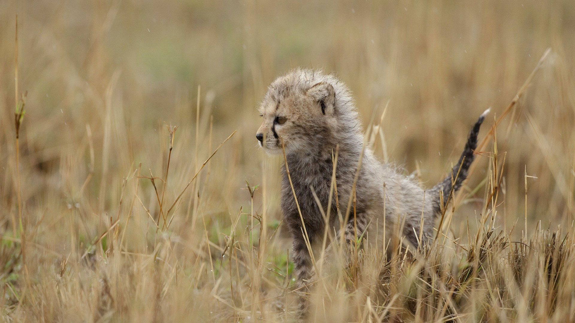 121668 Screensavers and Wallpapers Young for phone. Download Animals, Grass, Cheetah, Young, Kitty, Kitten, Joey, Tail pictures for free