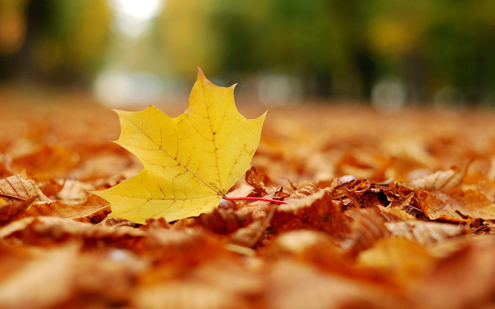 90002 download wallpaper Nature, Sheet, Leaf, Maple, Autumn screensavers and pictures for free