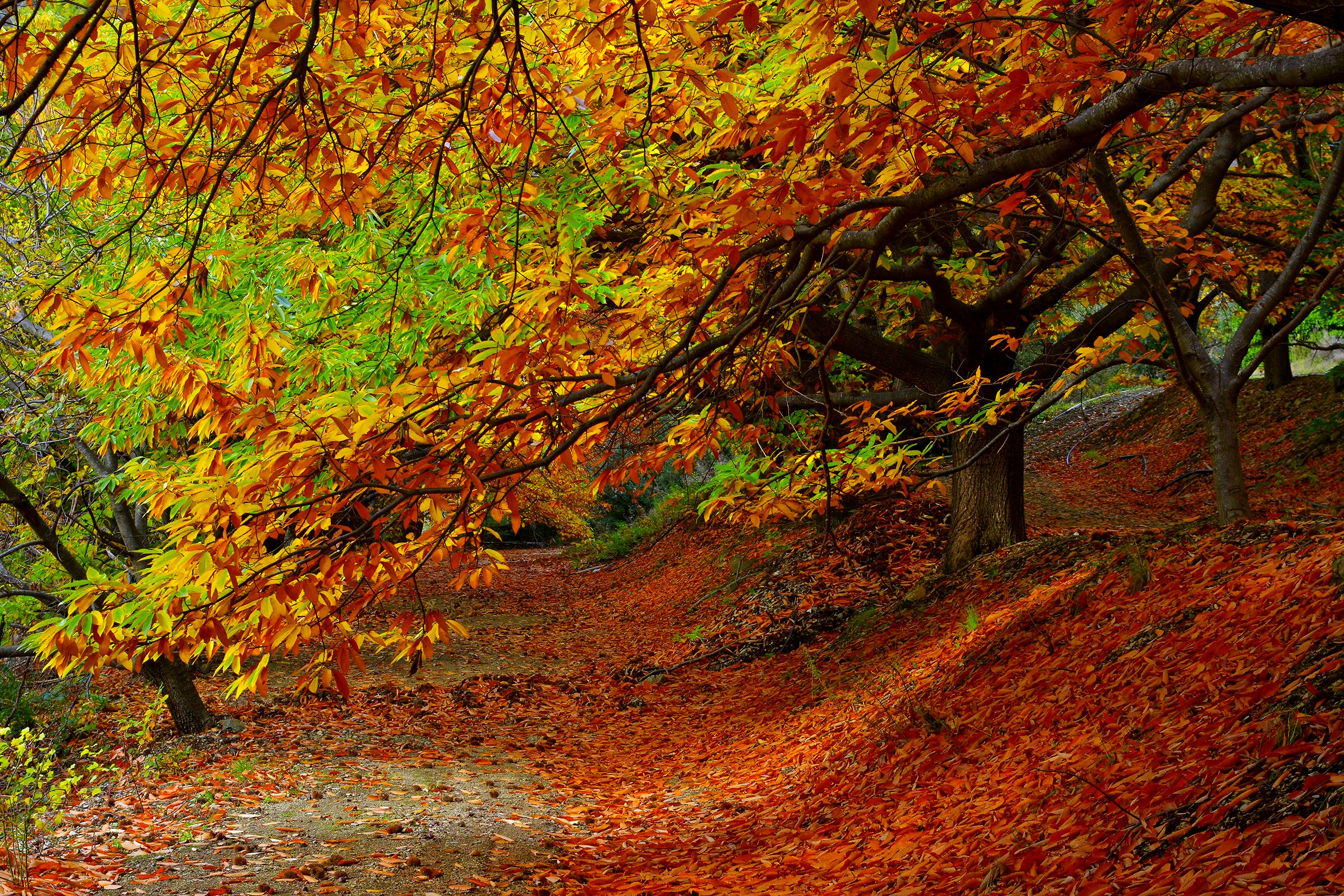 81781 download wallpaper Nature, Trees, Autumn, Forest, Foliage screensavers and pictures for free
