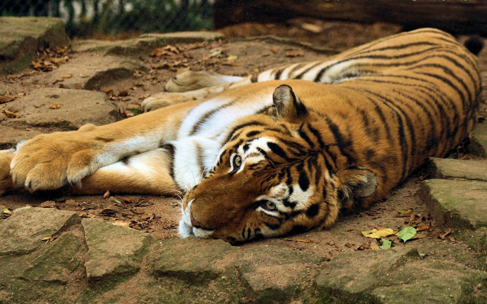 78827 download wallpaper Animals, Tiger, Predator, To Lie Down, Lie, Muzzle screensavers and pictures for free