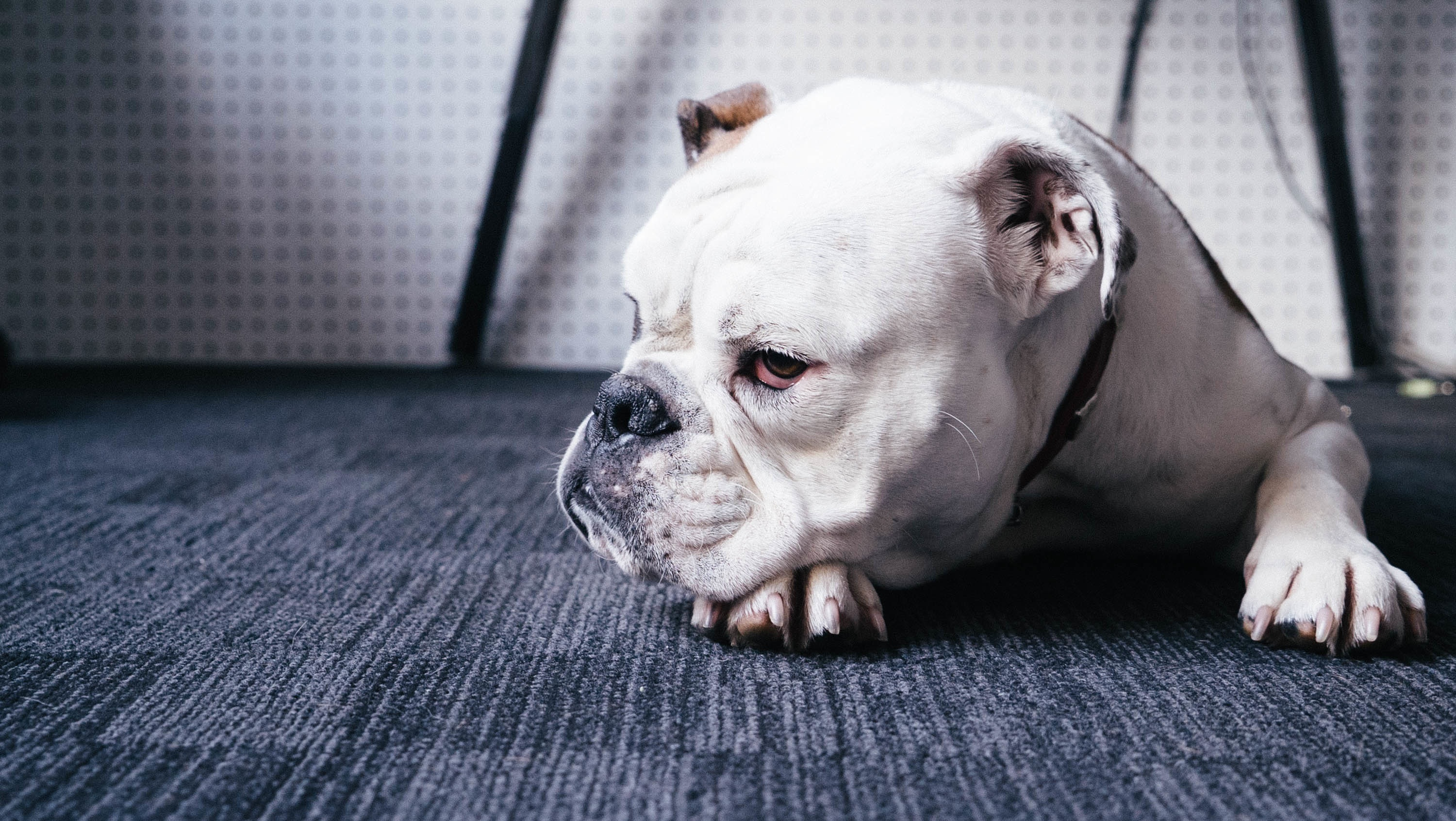 100311 download wallpaper Animals, Bulldog, Dog, Muzzle, To Lie Down, Lie screensavers and pictures for free