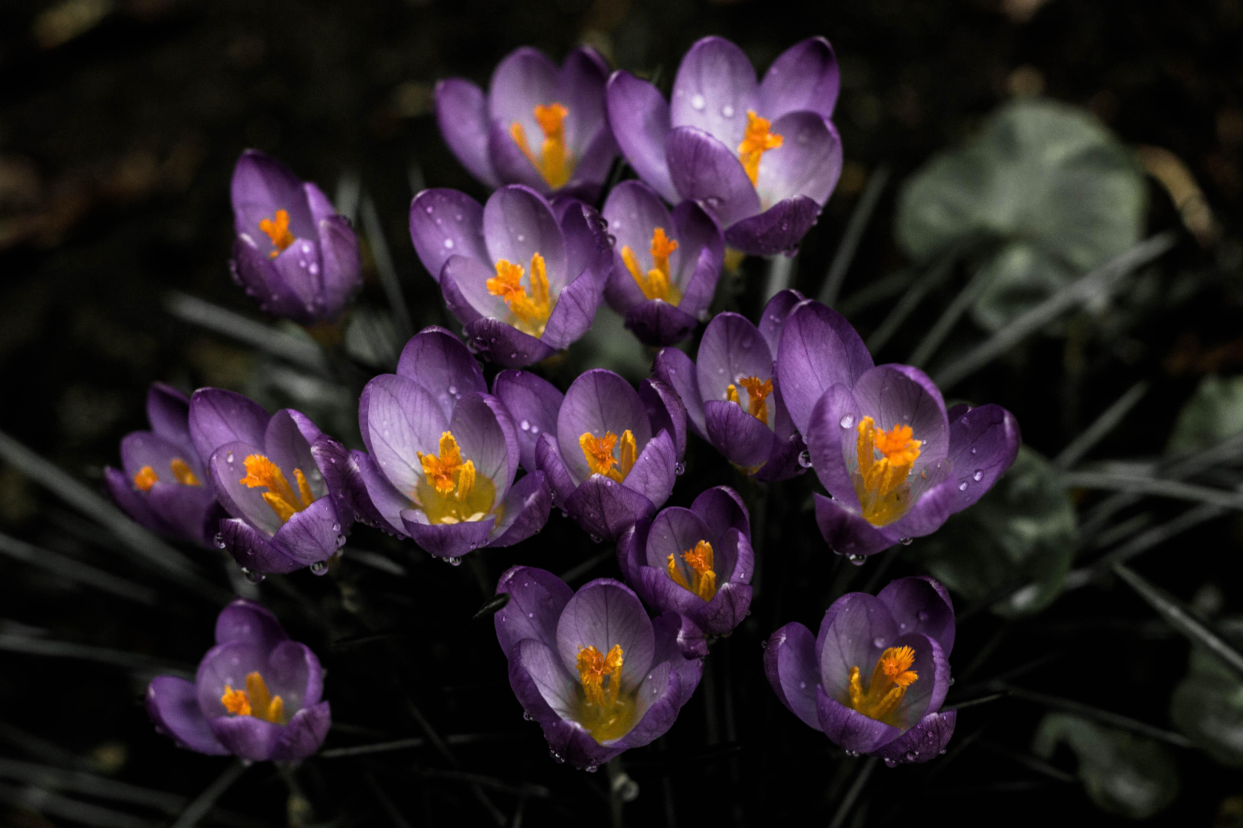 98060 Заставки и Обои Подснежники на телефон. Скачать Цветы, Подснежники, Фиолетовый, Весна картинки бесплатно