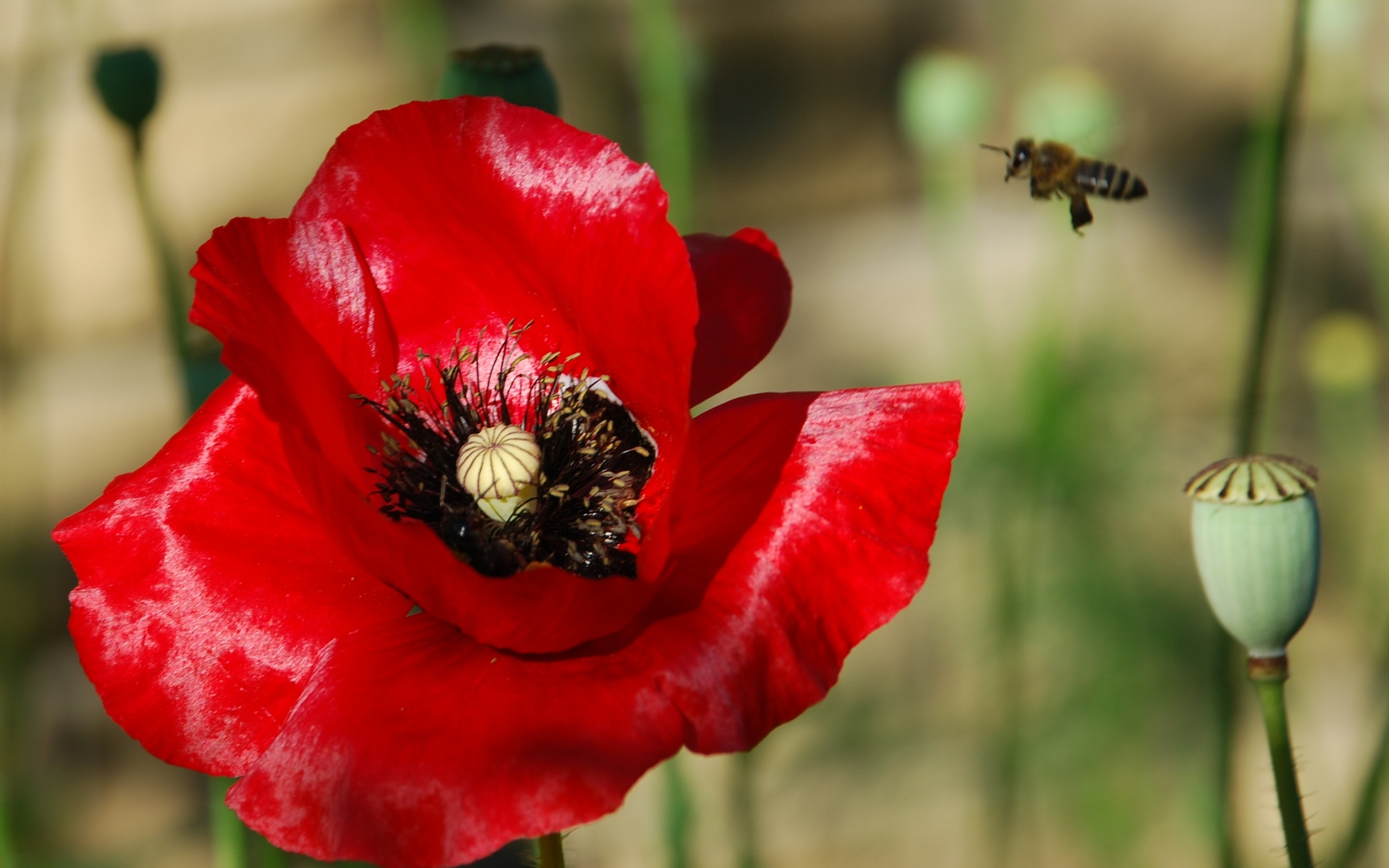 5918 скачать обои Растения, Цветы, Маки - заставки и картинки бесплатно