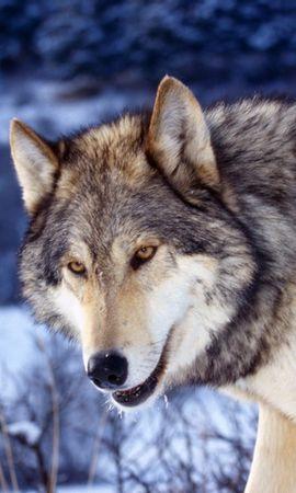 9820 baixar papel de parede Animais, Lobos - protetores de tela e imagens gratuitamente