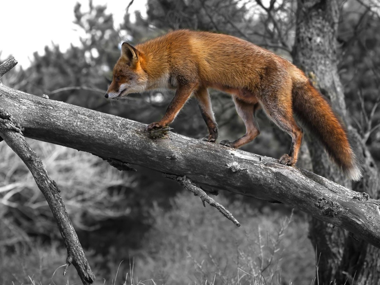41037 download wallpaper Animals, Fox screensavers and pictures for free