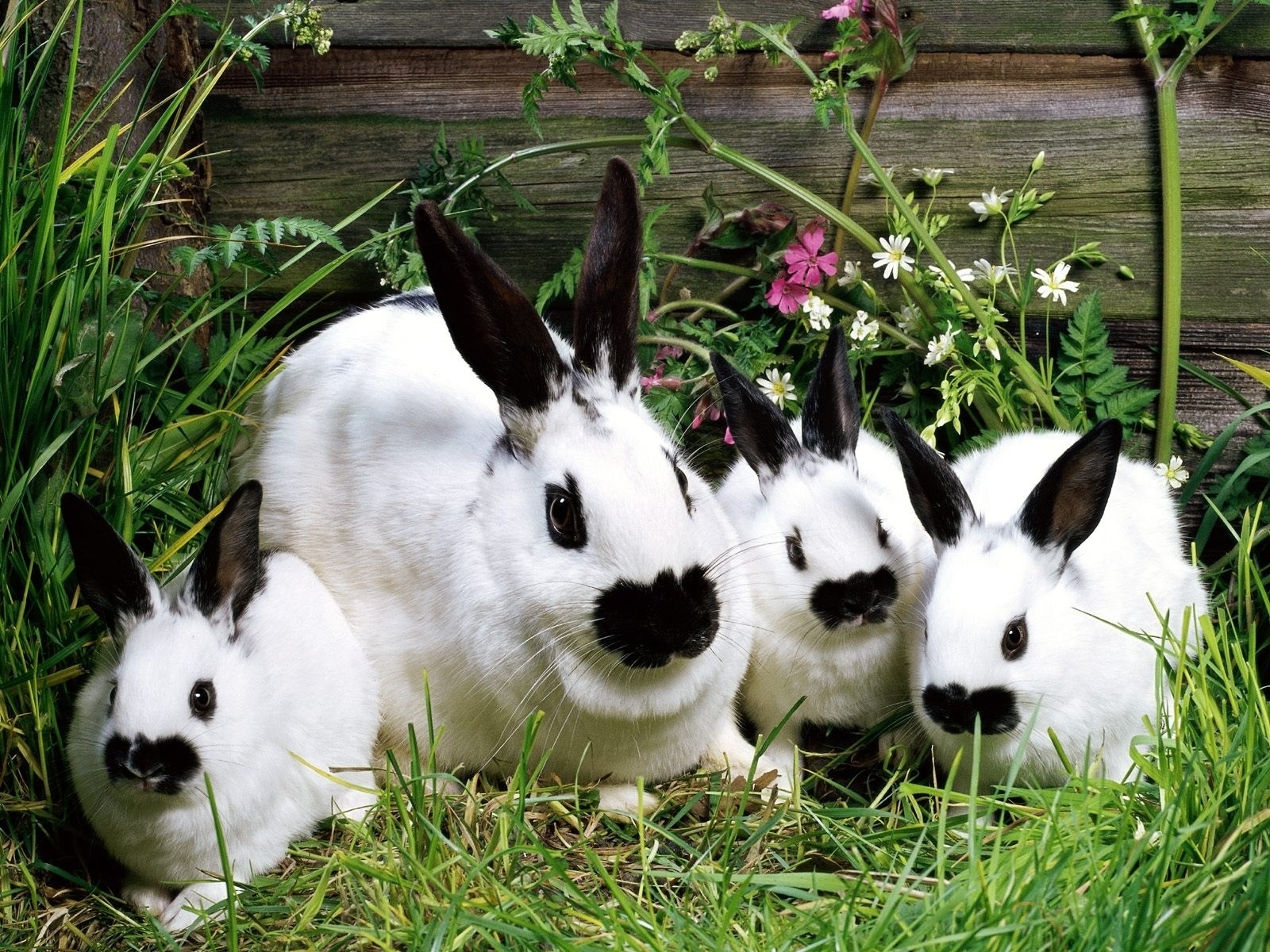 3907 download wallpaper Animals, Rodents, Rabbits screensavers and pictures for free