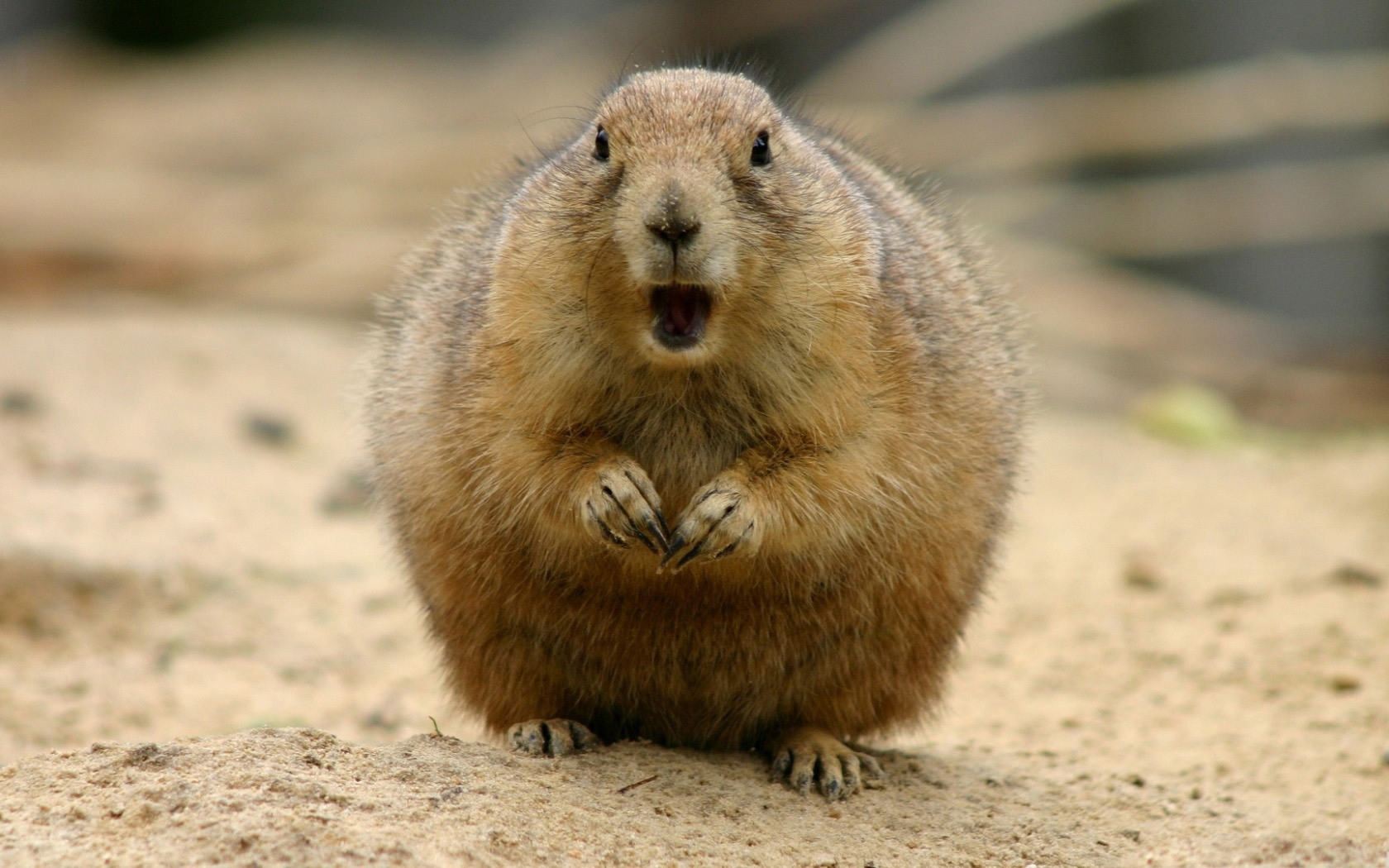 32773 Screensavers and Wallpapers Rodents for phone. Download Animals, Rodents pictures for free