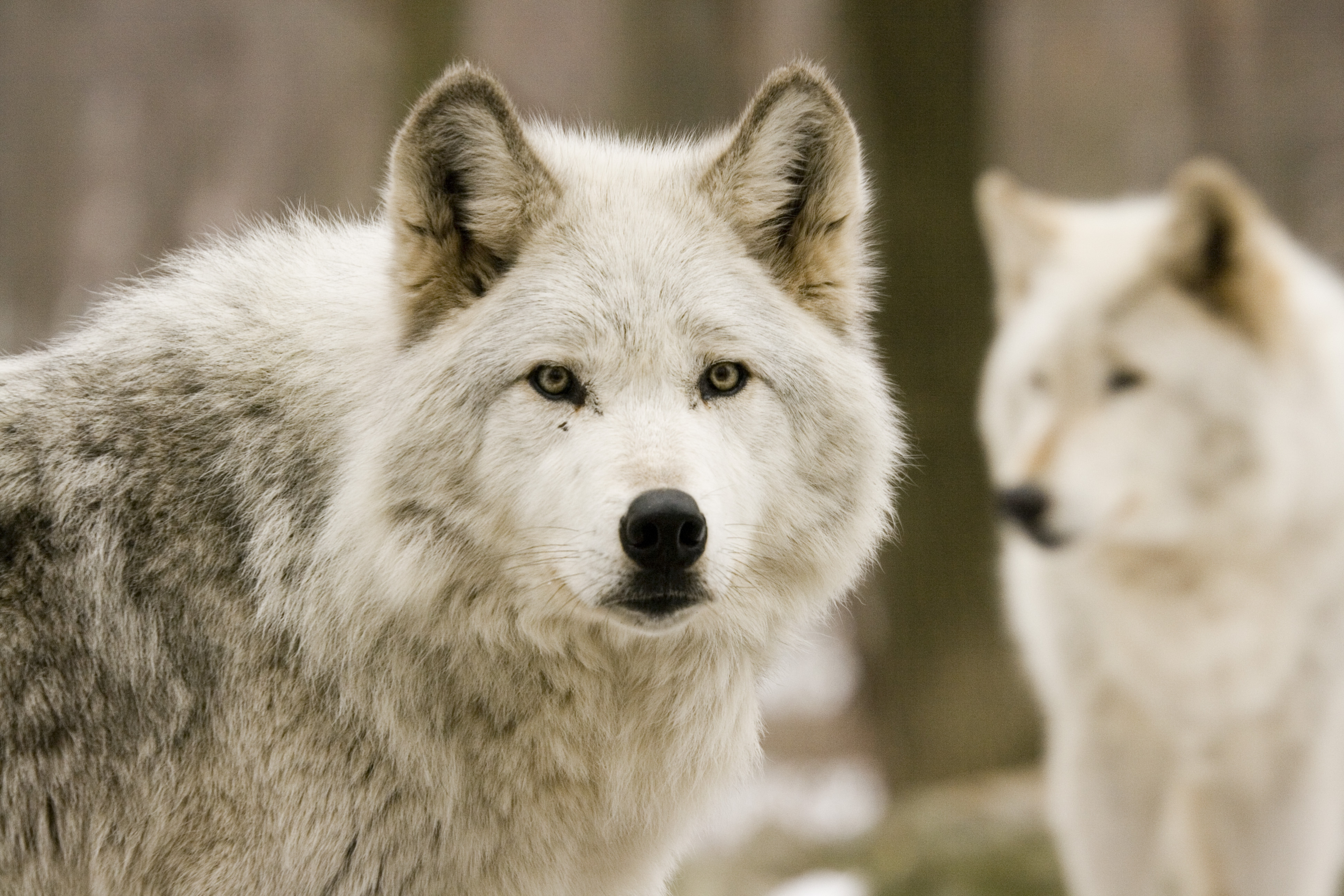 76660 Screensavers and Wallpapers Predators for phone. Download Animals, Wolfs, Predators, Forest, Hunting, Hunt pictures for free