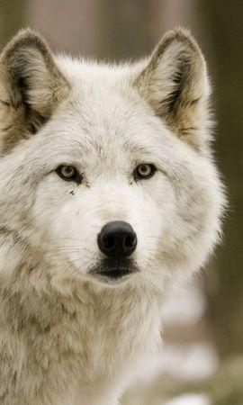 76660 baixar papel de parede Animais, Lobos, Predadores, Floresta, Caçando, Caçar - protetores de tela e imagens gratuitamente