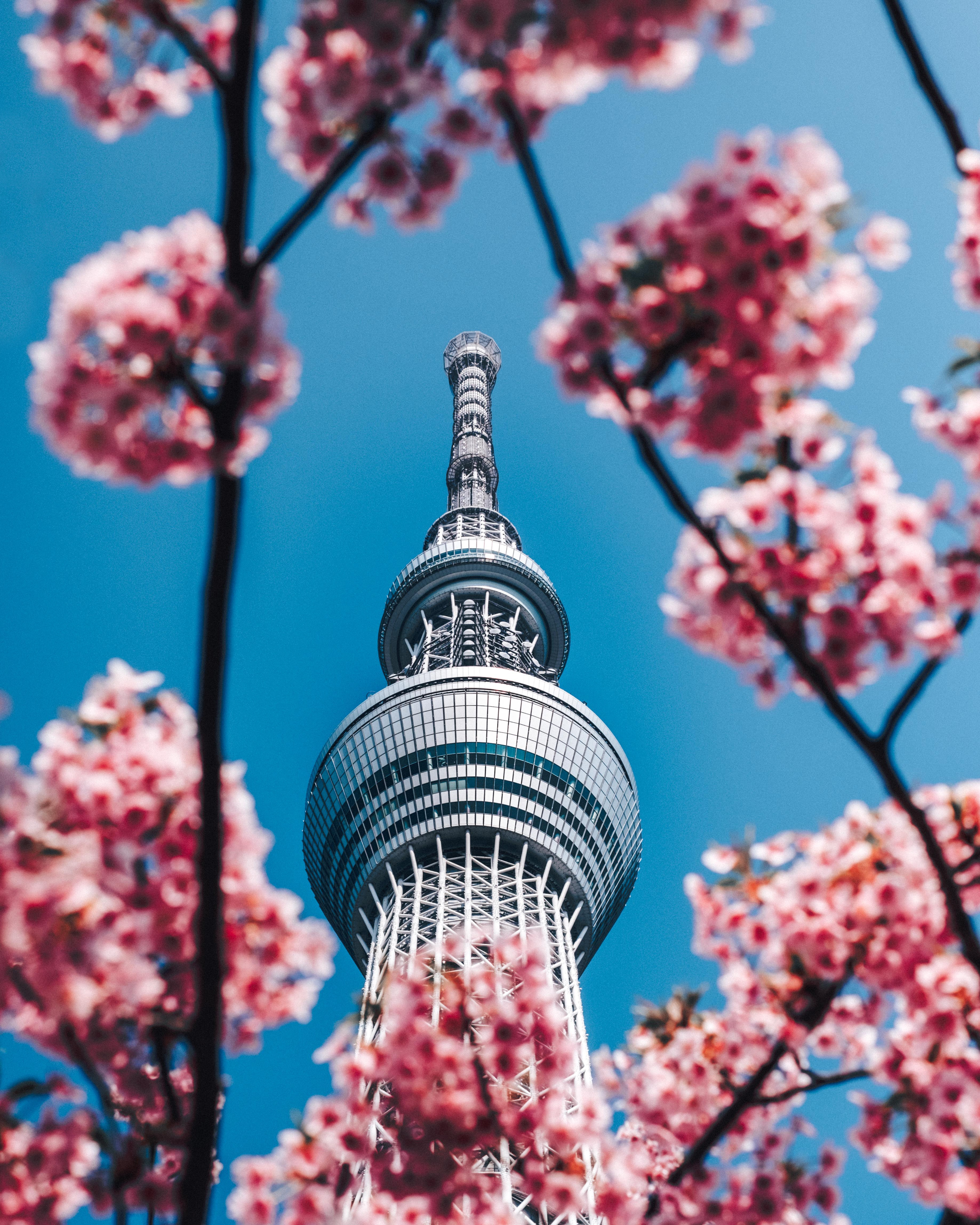 144836 Screensavers and Wallpapers Sakura for phone. Download Cities, Flowers, Architecture, Sakura, Building, Tower, Spring pictures for free