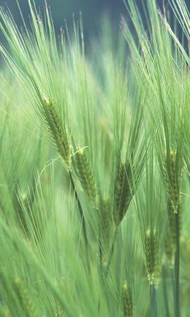 49648 скачать обои Растения, Пшеница - заставки и картинки бесплатно