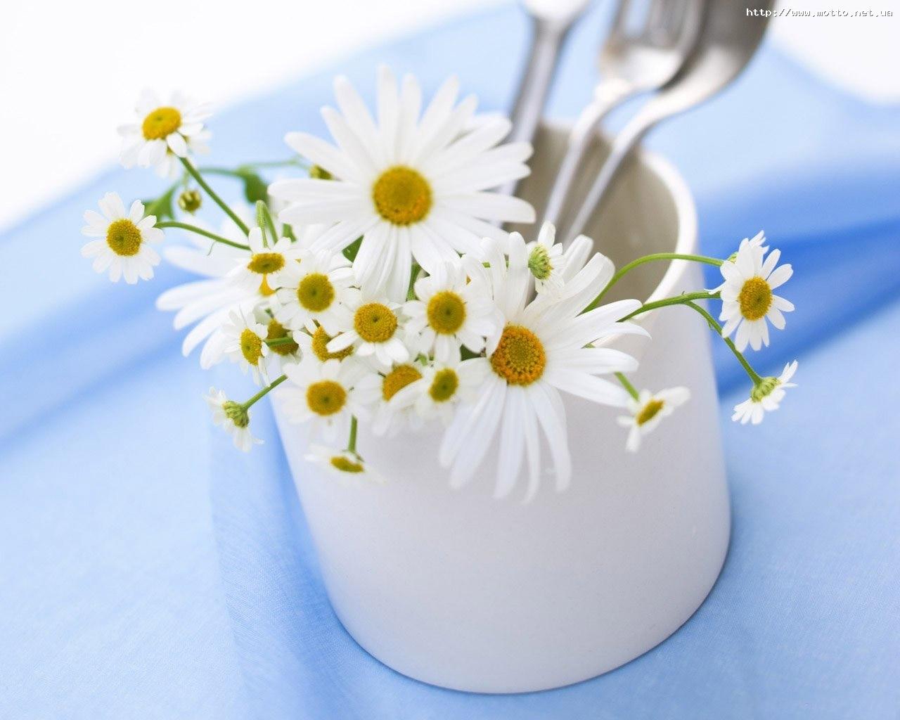 5086 скачать обои Растения, Цветы, Ромашки - заставки и картинки бесплатно
