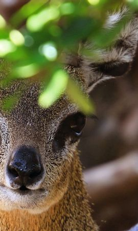 151587 download wallpaper Animals, African Antelope, Muzzle, Leaves screensavers and pictures for free
