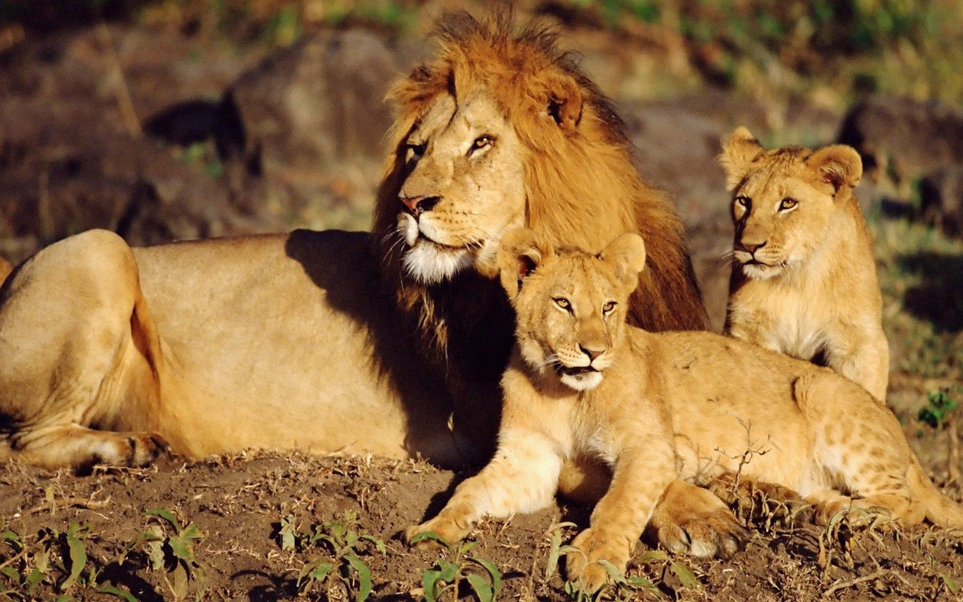 54191 download wallpaper Animals, Family, Care, To Lie Down, Lie, Sun, Lions screensavers and pictures for free