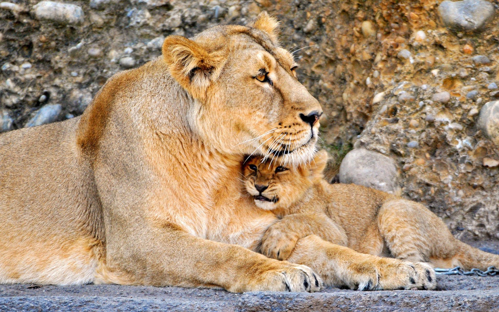 133310 download wallpaper Animals, Lion, Lioness, Couple, Pair, Young, Joey screensavers and pictures for free