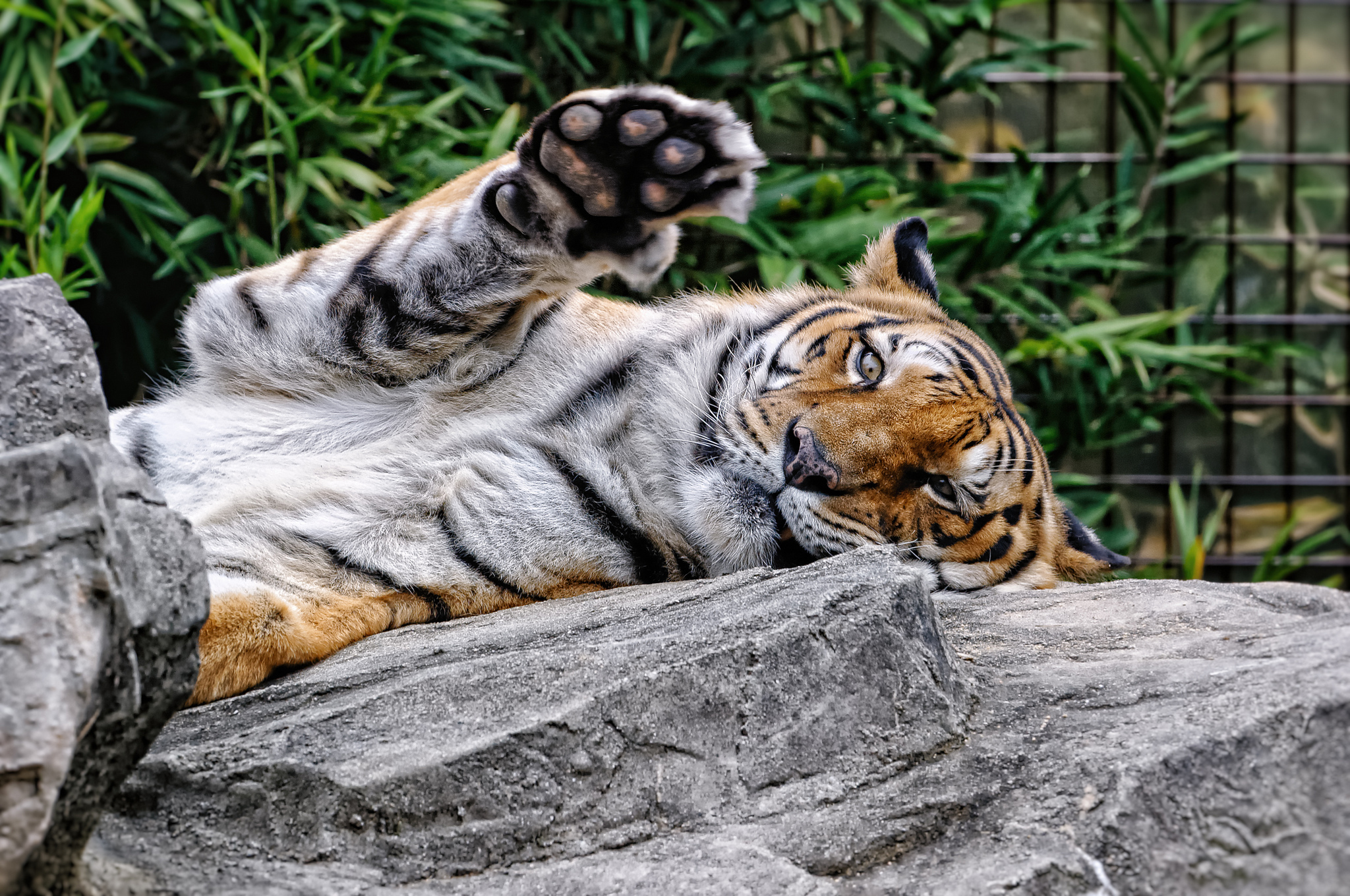93919 download wallpaper Animals, Amur Tiger, Muzzle, Predator, Paw screensavers and pictures for free