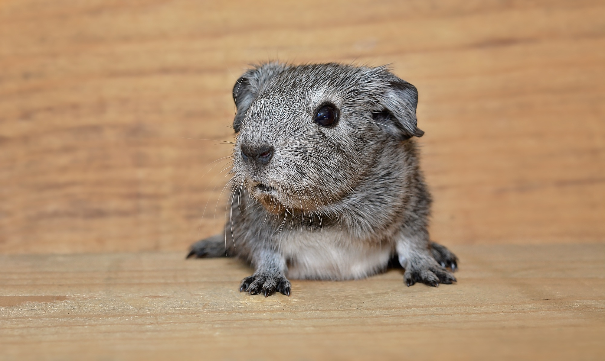 92642 Screensavers and Wallpapers Beautiful for phone. Download Animals, Beautiful, Guinea Pig, Rodent pictures for free