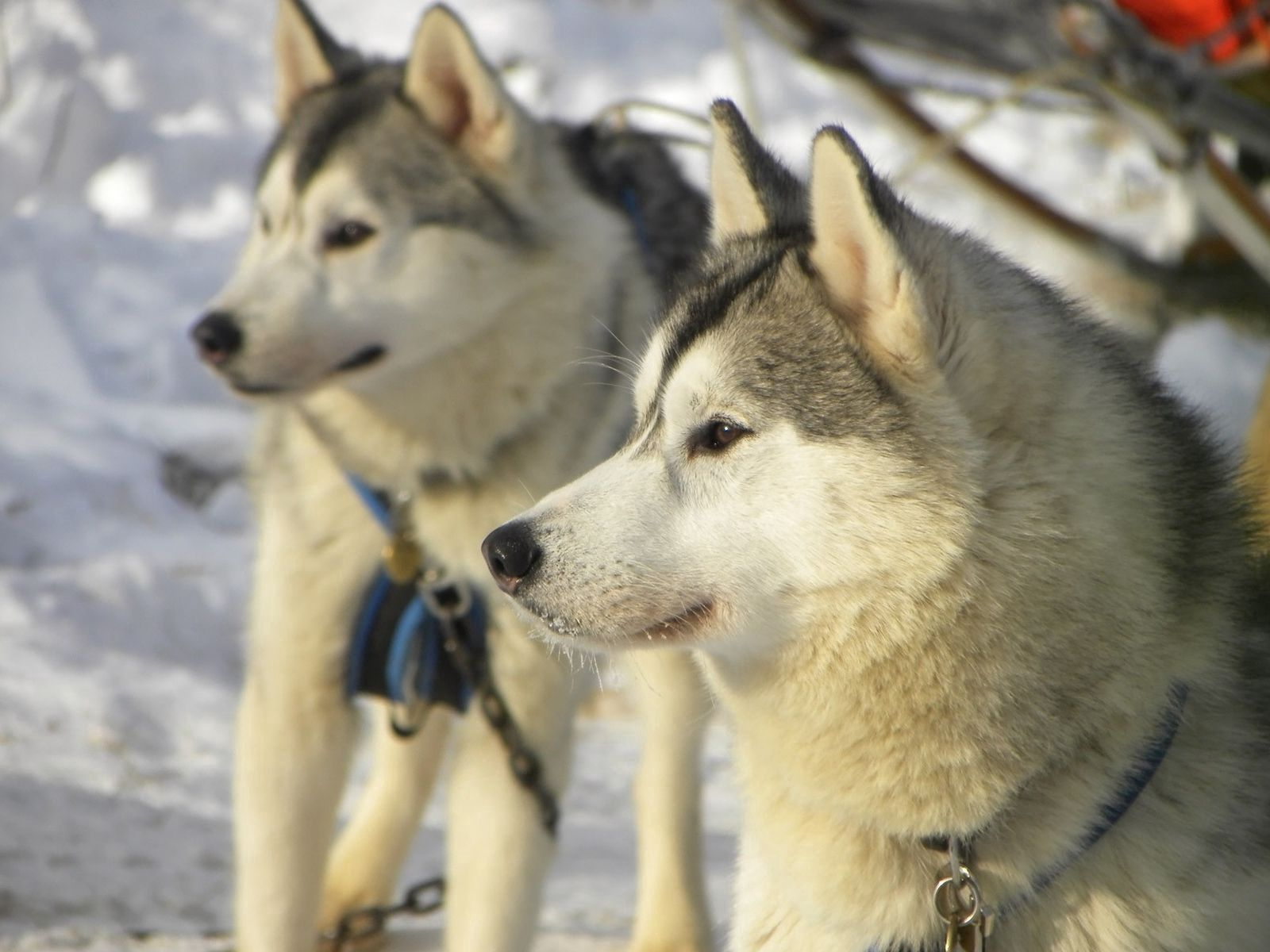 101249 download wallpaper Animals, Dog, Husky, Haska, Snow, Winter, Right, Faithful screensavers and pictures for free