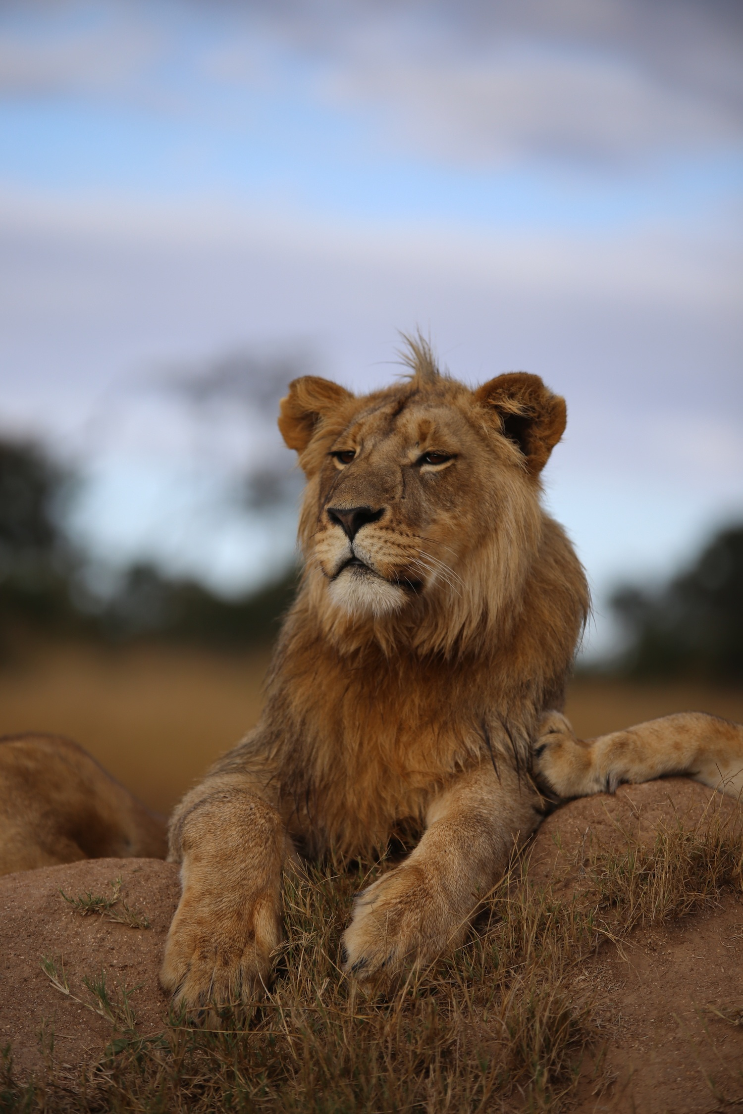 65165 download wallpaper Animals, Lion, Savanna, Wildlife, Sight, Opinion, Proud, Predator screensavers and pictures for free