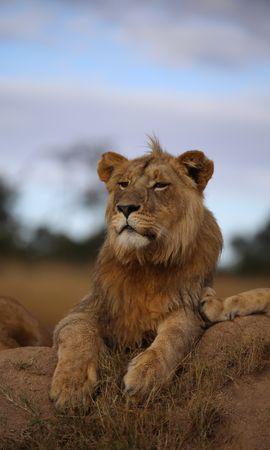 65165 скачать обои Животные, Лев, Саванна, Дикая Природа, Взгляд, Гордый, Хищник - заставки и картинки бесплатно