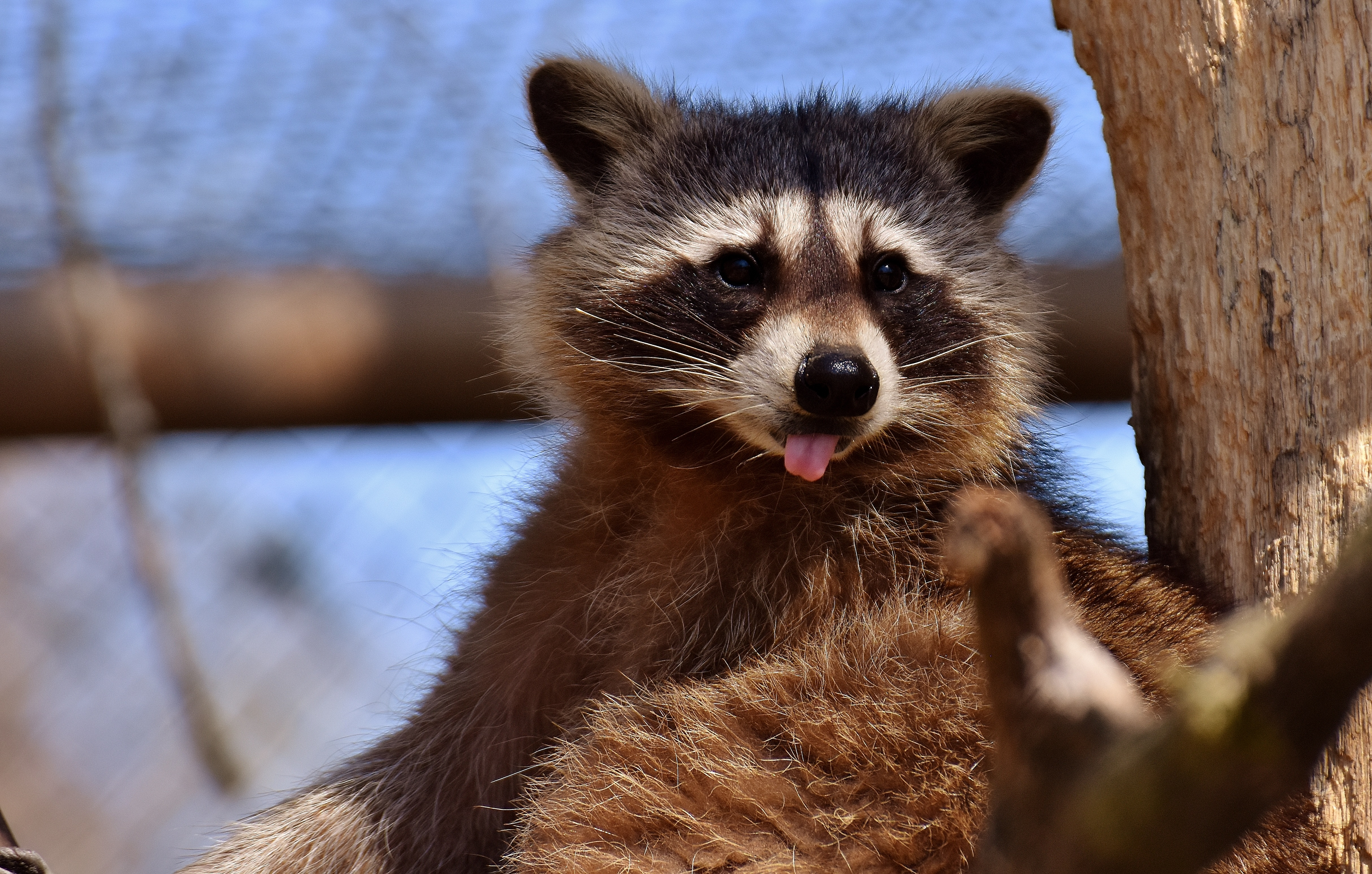 130550 Screensavers and Wallpapers Raccoon for phone. Download Animals, Muzzle, Protruding Tongue, Tongue Stuck Out, Raccoon pictures for free