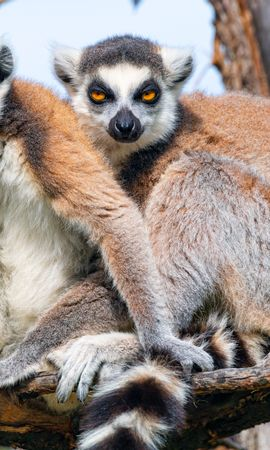 91662 download wallpaper Animals, Lemur, Animal, Funny, Sight, Opinion, Branch screensavers and pictures for free