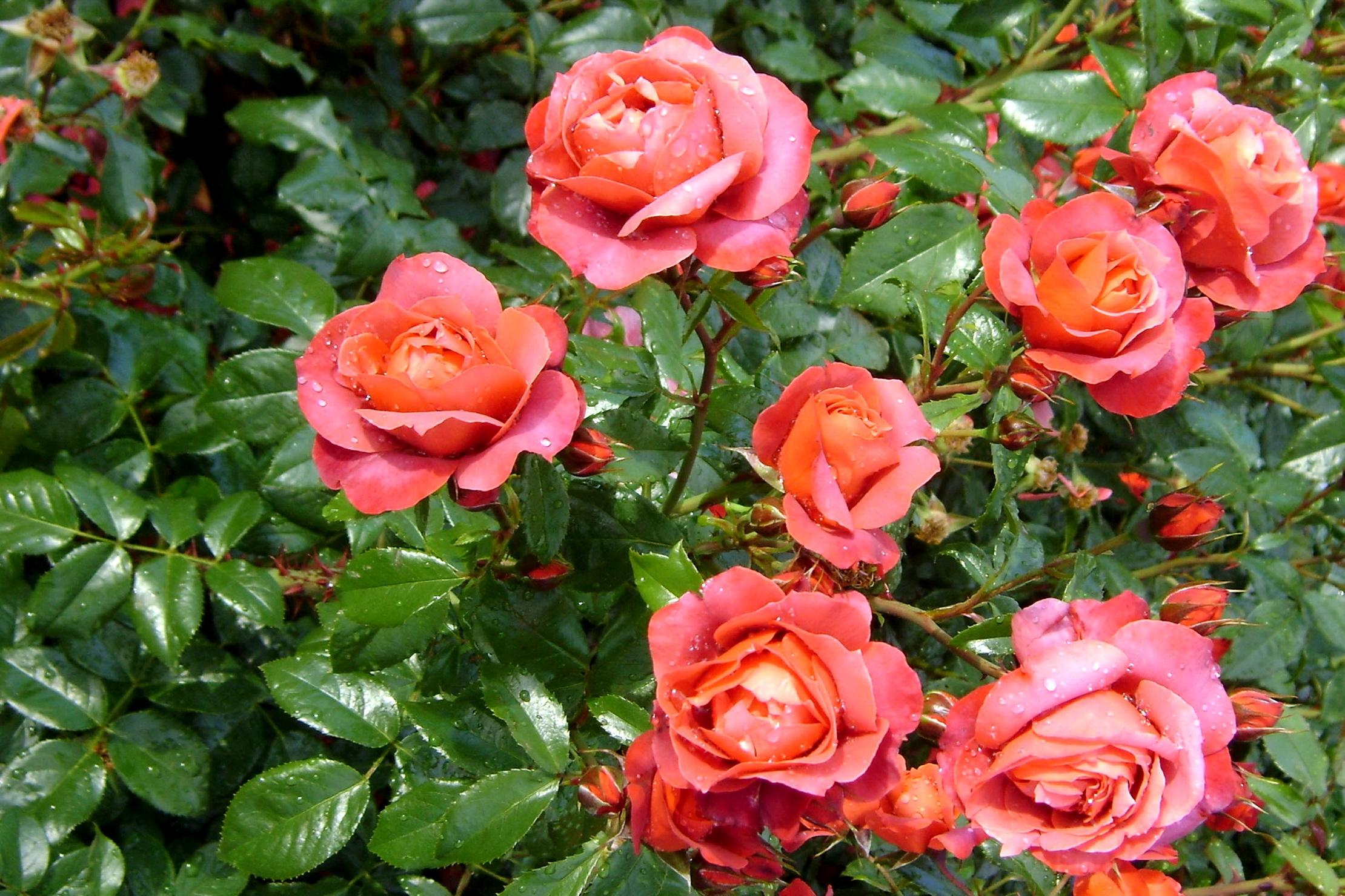 85754 Заставки и Обои Розы на телефон. Скачать Розы, Цветы, Капли, Зелень, Свежесть, Куст картинки бесплатно