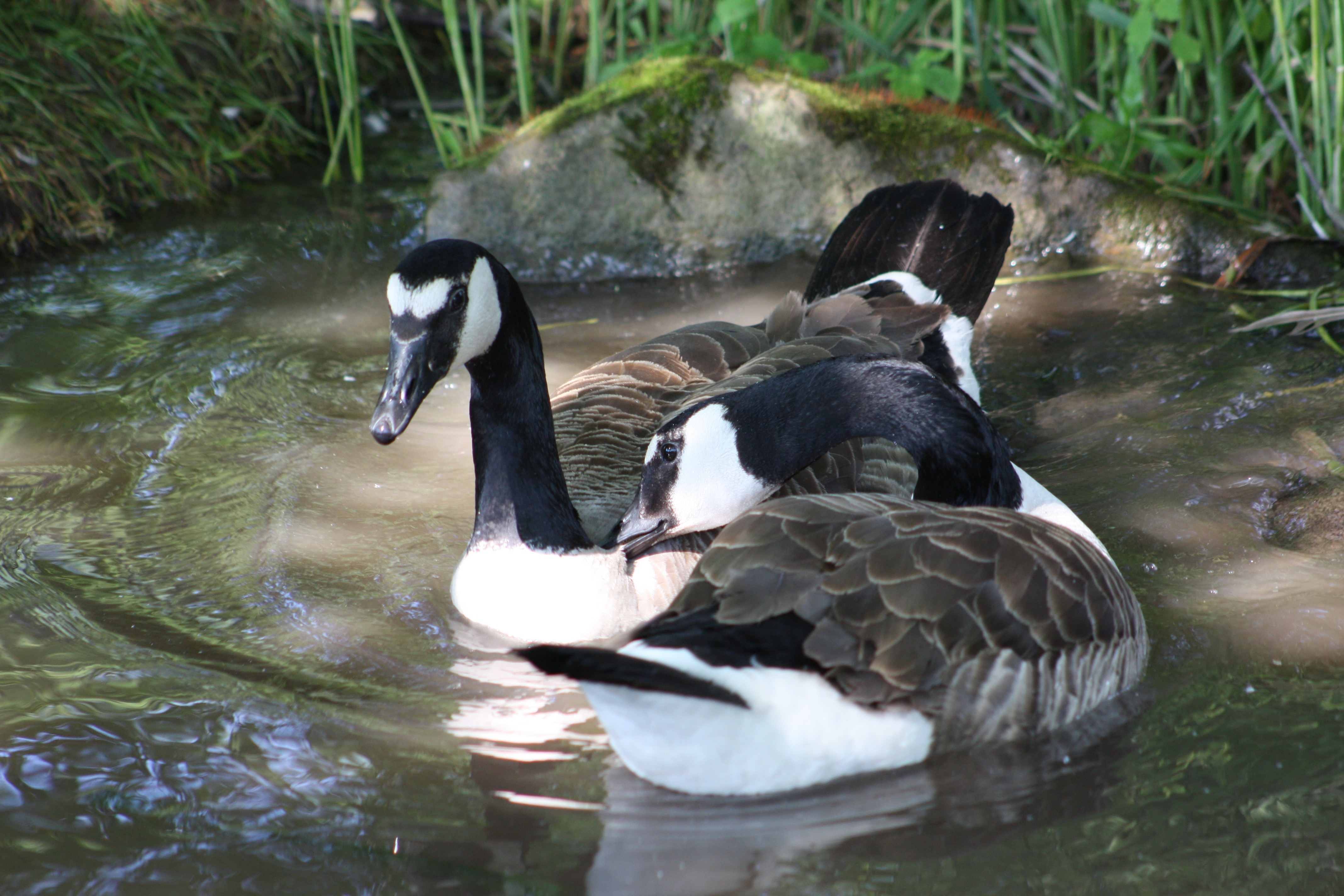141803 download wallpaper Animals, Ducks, To Swim, Swim, Lake, Pond screensavers and pictures for free