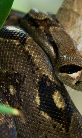 153305 download wallpaper Animals, Costa Rica, Snake, Anaconda screensavers and pictures for free