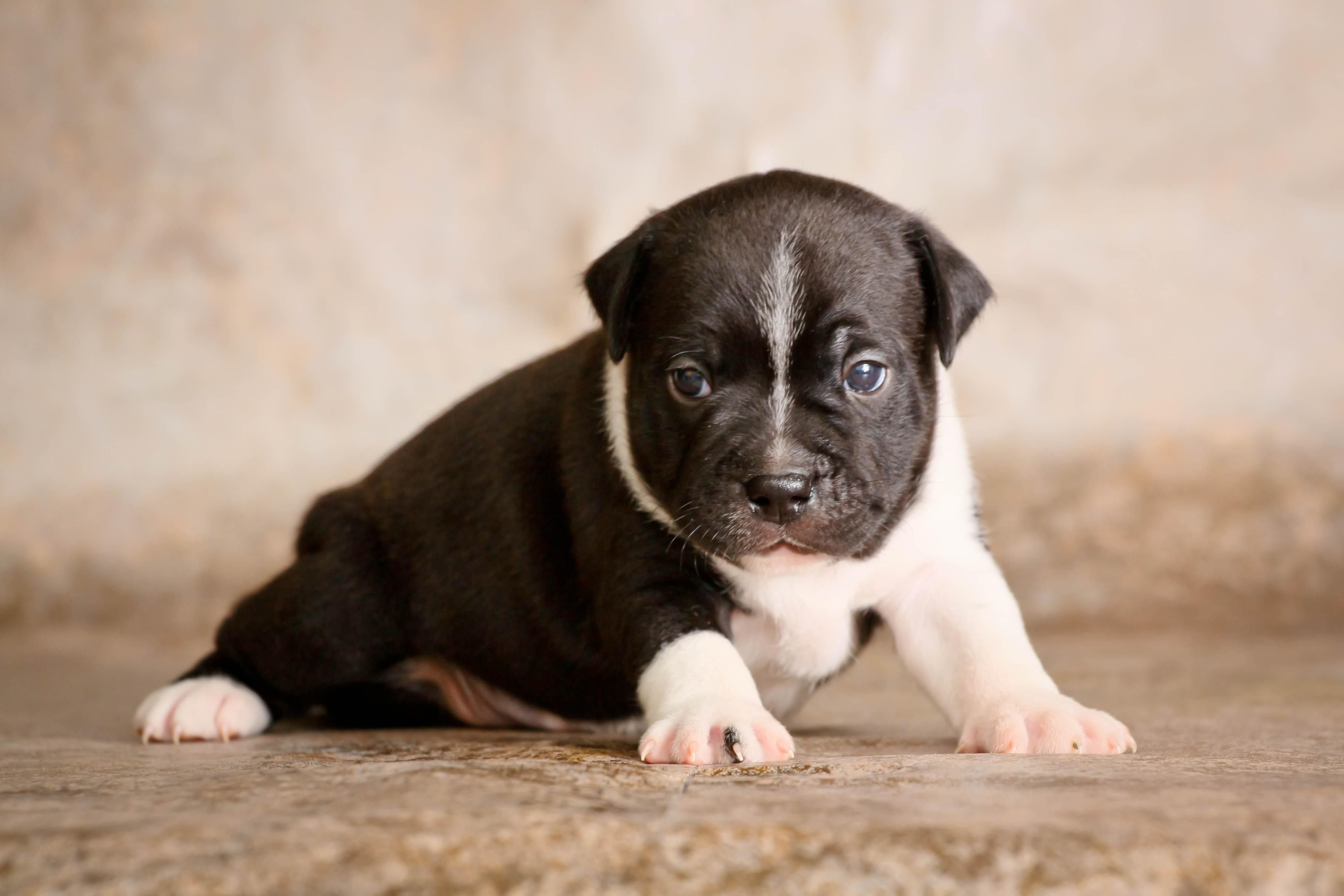 145517 download wallpaper Animals, Staffordshire Bull Terrier, Puppy, Dog, Nice, Sweetheart, Kid, Tot screensavers and pictures for free