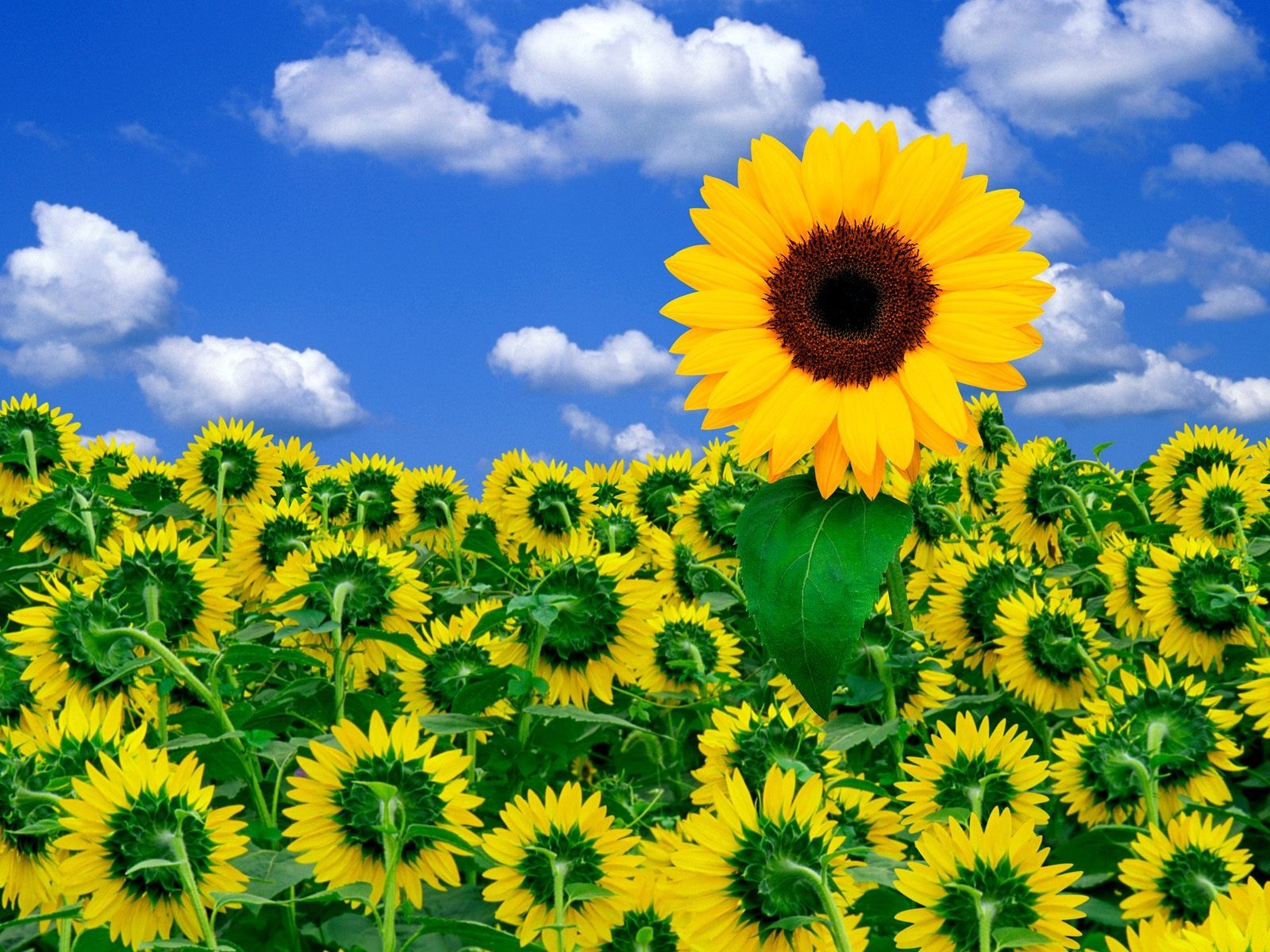 16317 免費下載壁紙 植物, 向日葵 屏保和圖片