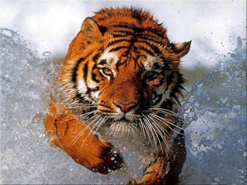 43132 descargar fondo de pantalla Animales, Tigres: protectores de pantalla e imágenes gratis