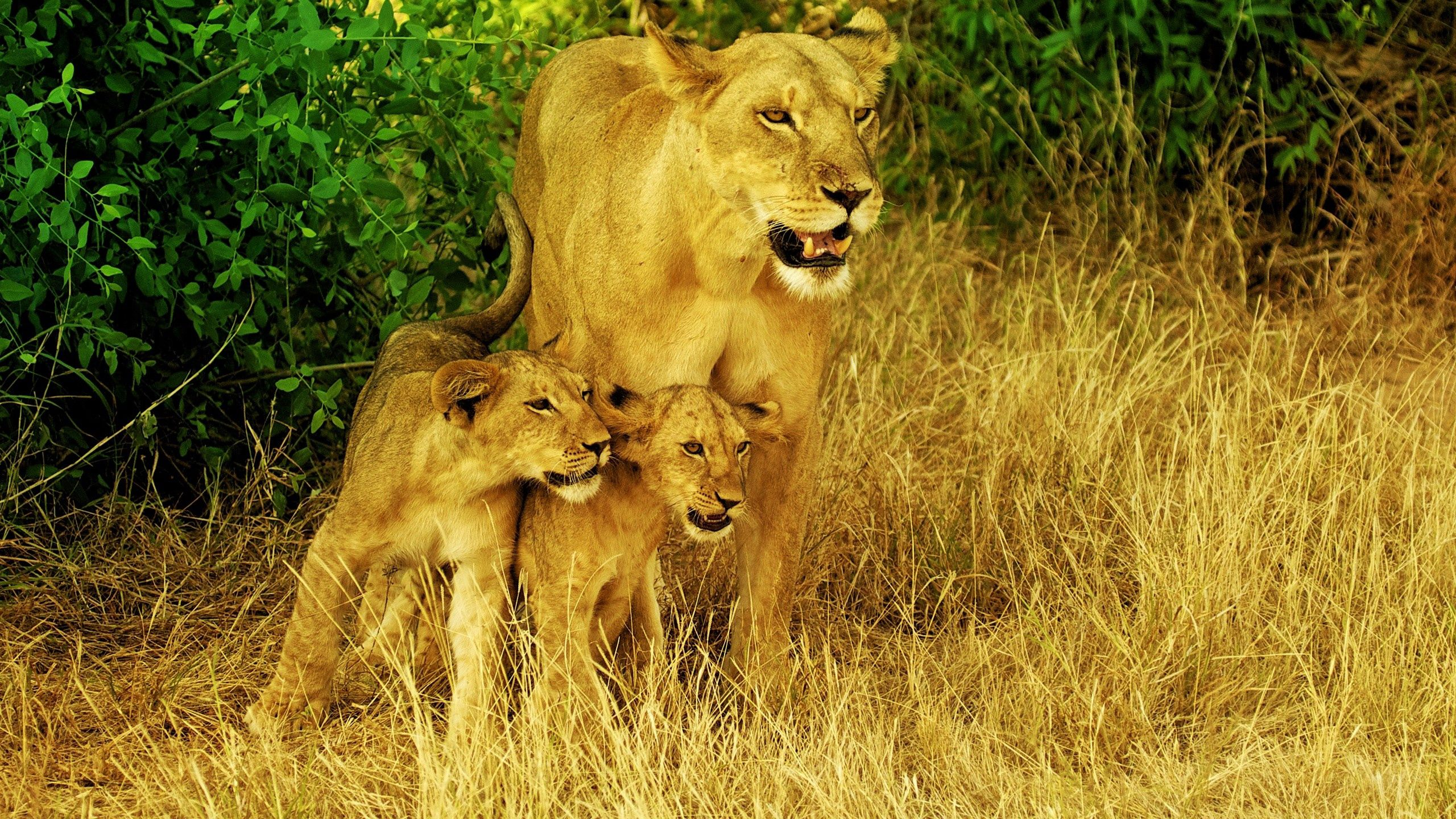 69725 download wallpaper Animals, Family, Grass, Stroll, Lions screensavers and pictures for free