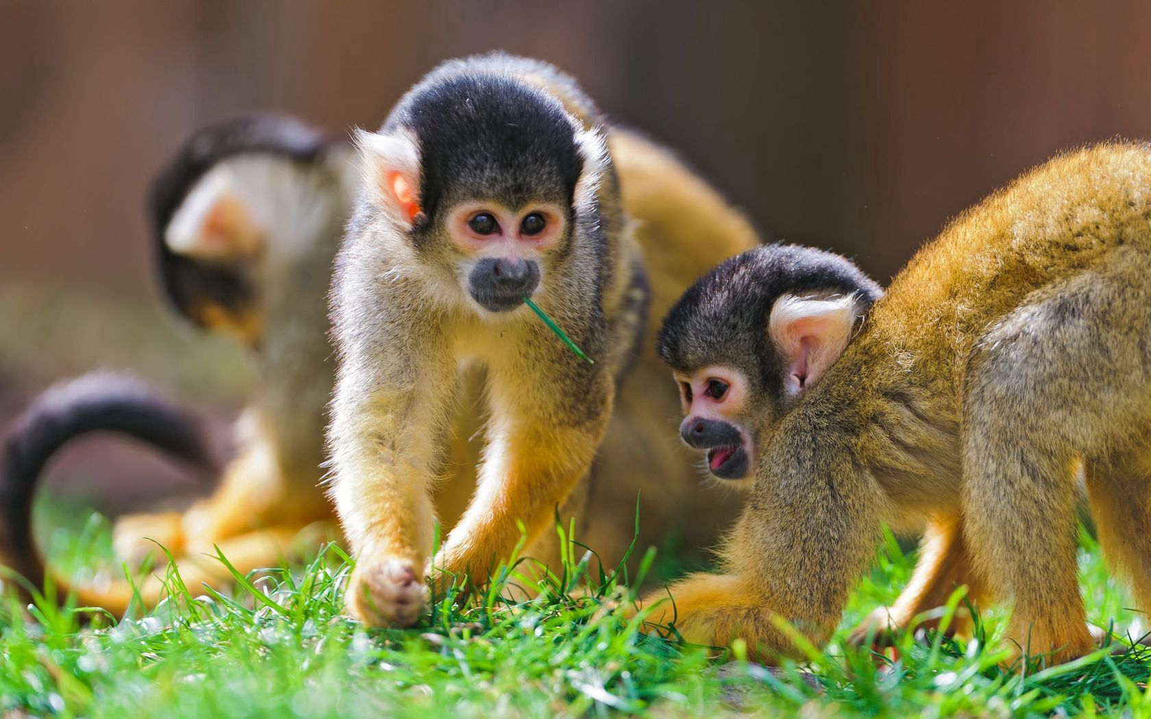 68432 Screensavers and Wallpapers Monkeys for phone. Download Animals, Grass, Monkeys, Family, Saimiri pictures for free