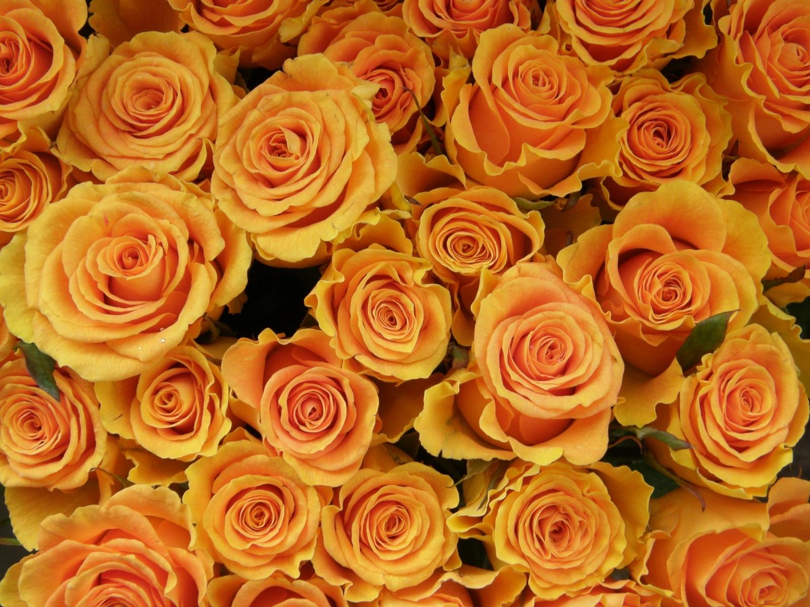 Скачать картинку Растения, Цветы, Фон, Розы в телефон бесплатно.