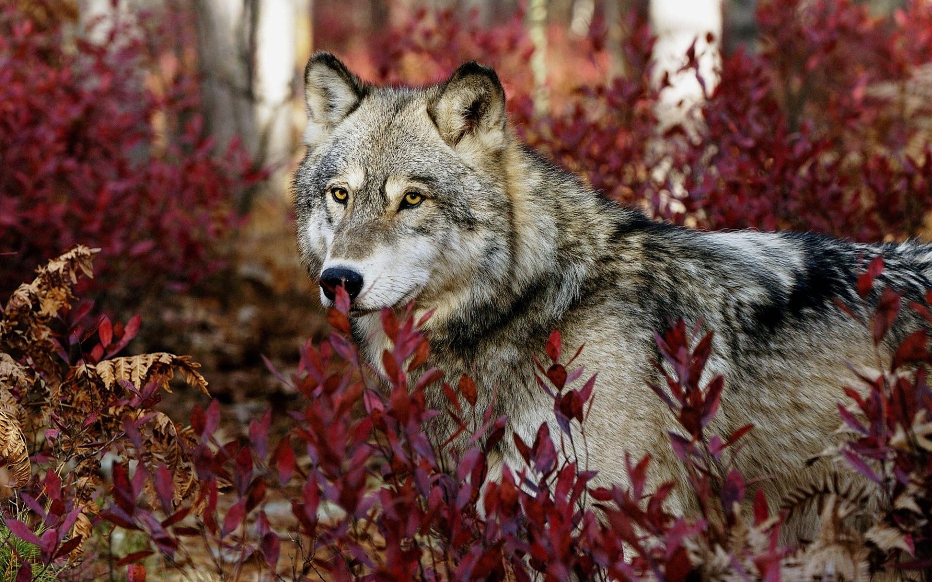 30015 Заставки и Обои Волки на телефон. Скачать Животные, Волки картинки бесплатно