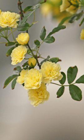 131773 скачать Желтые обои на телефон бесплатно, Цветы, Кустовые, Ветка, Размытость, Розы Желтые картинки и заставки на мобильный
