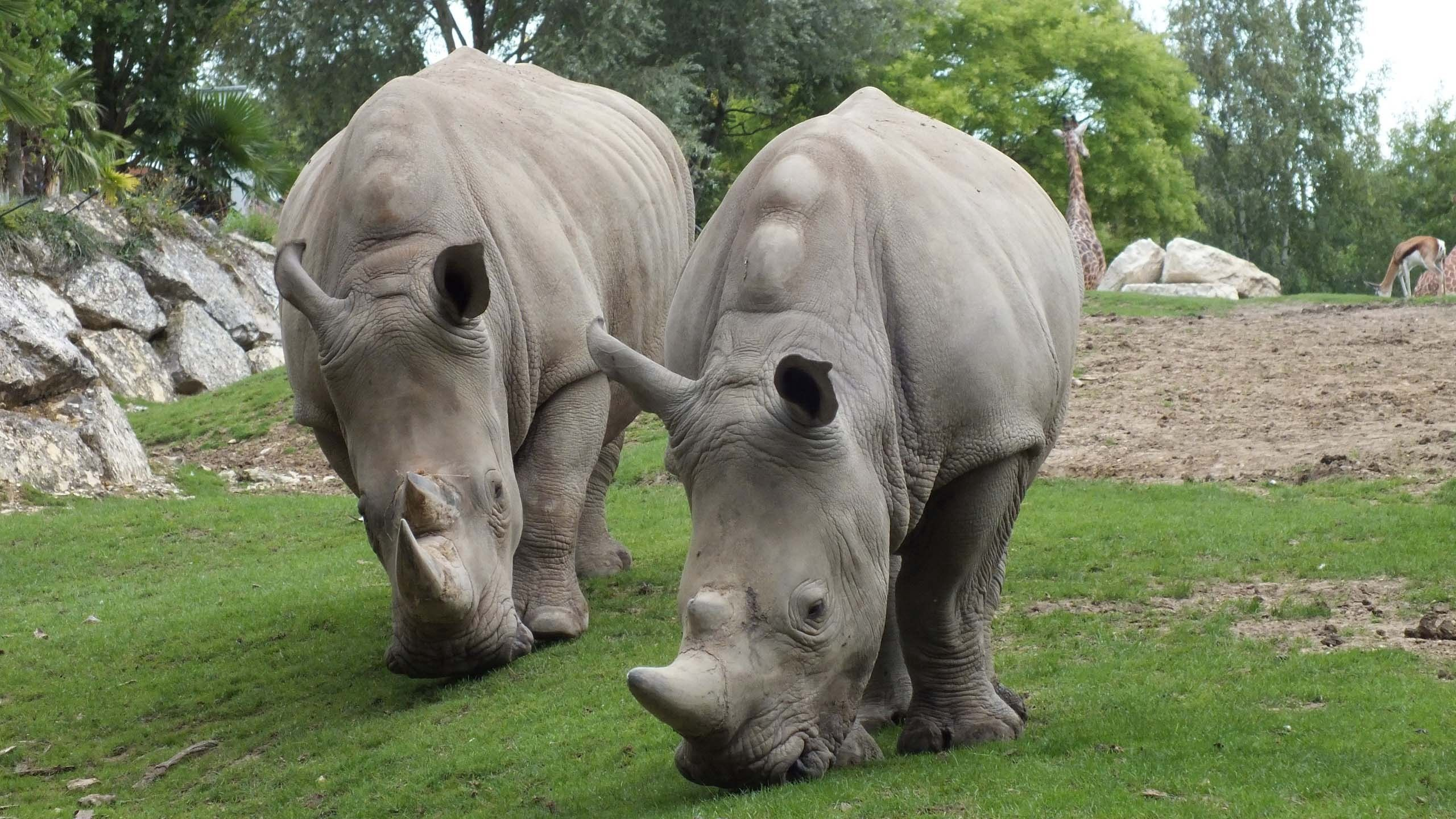 145467 download wallpaper Animals, Rhinos, Couple, Pair, Grass, Food screensavers and pictures for free