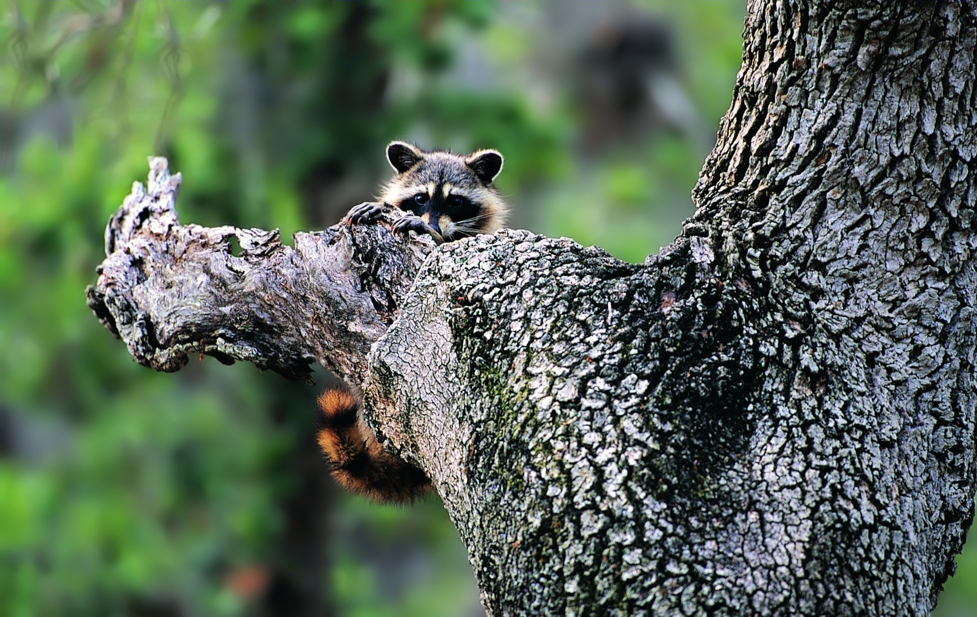 96146 Screensavers and Wallpapers Raccoon for phone. Download Animals, Wood, Tree, Muzzle, Climb, Raccoon pictures for free