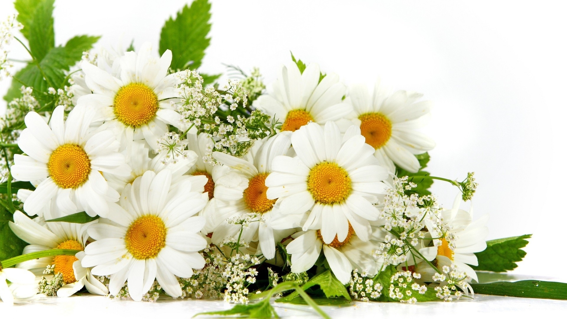 46451 download wallpaper Plants, Flowers, Camomile screensavers and pictures for free