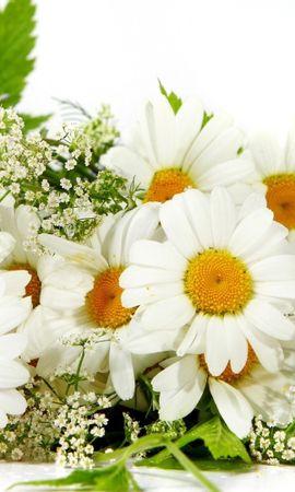 46451 télécharger le fond d'écran Plantes, Fleurs, Camomille - économiseurs d'écran et images gratuitement
